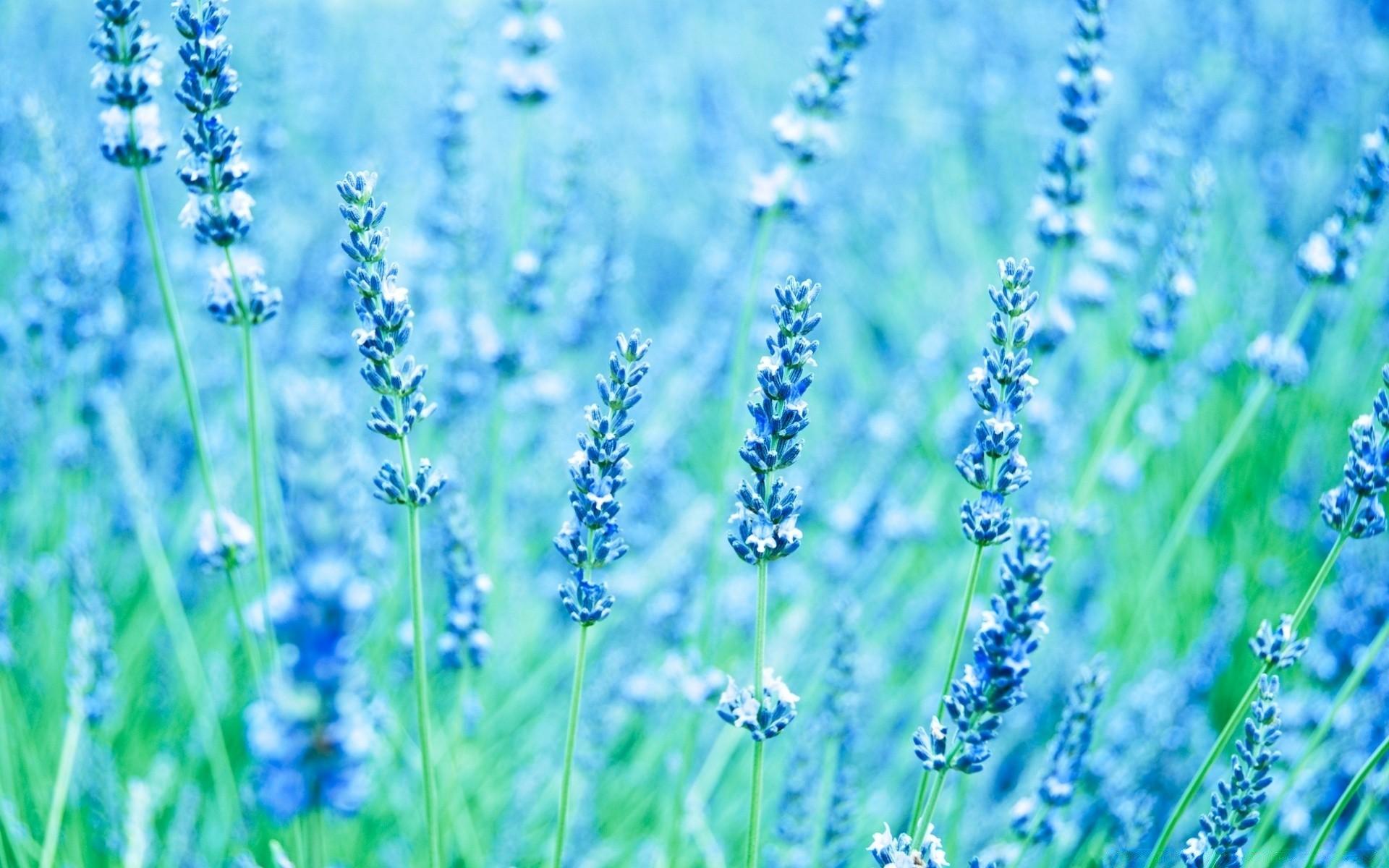 Синяя лаванда картинка