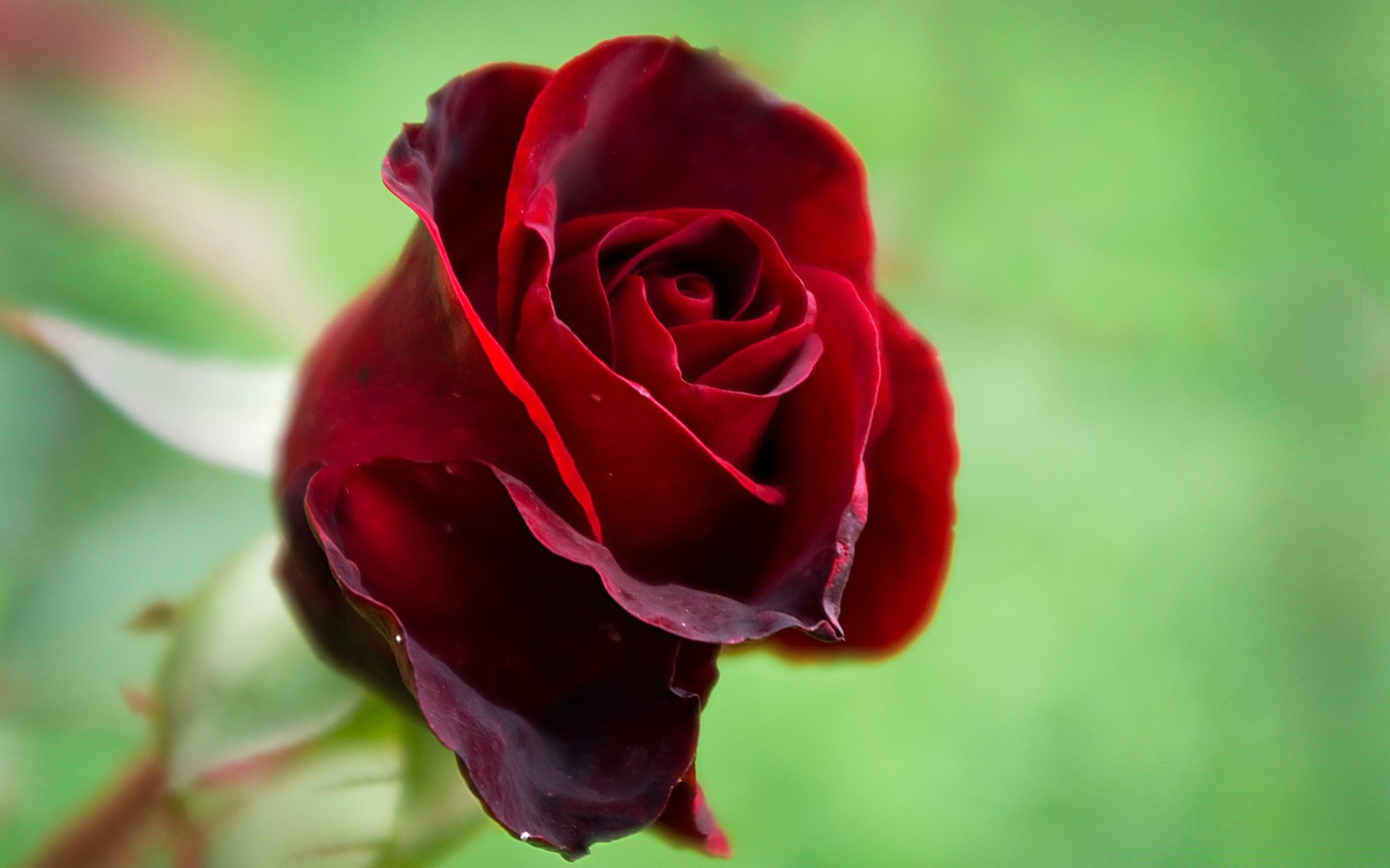 Картинки розы алые красивые
