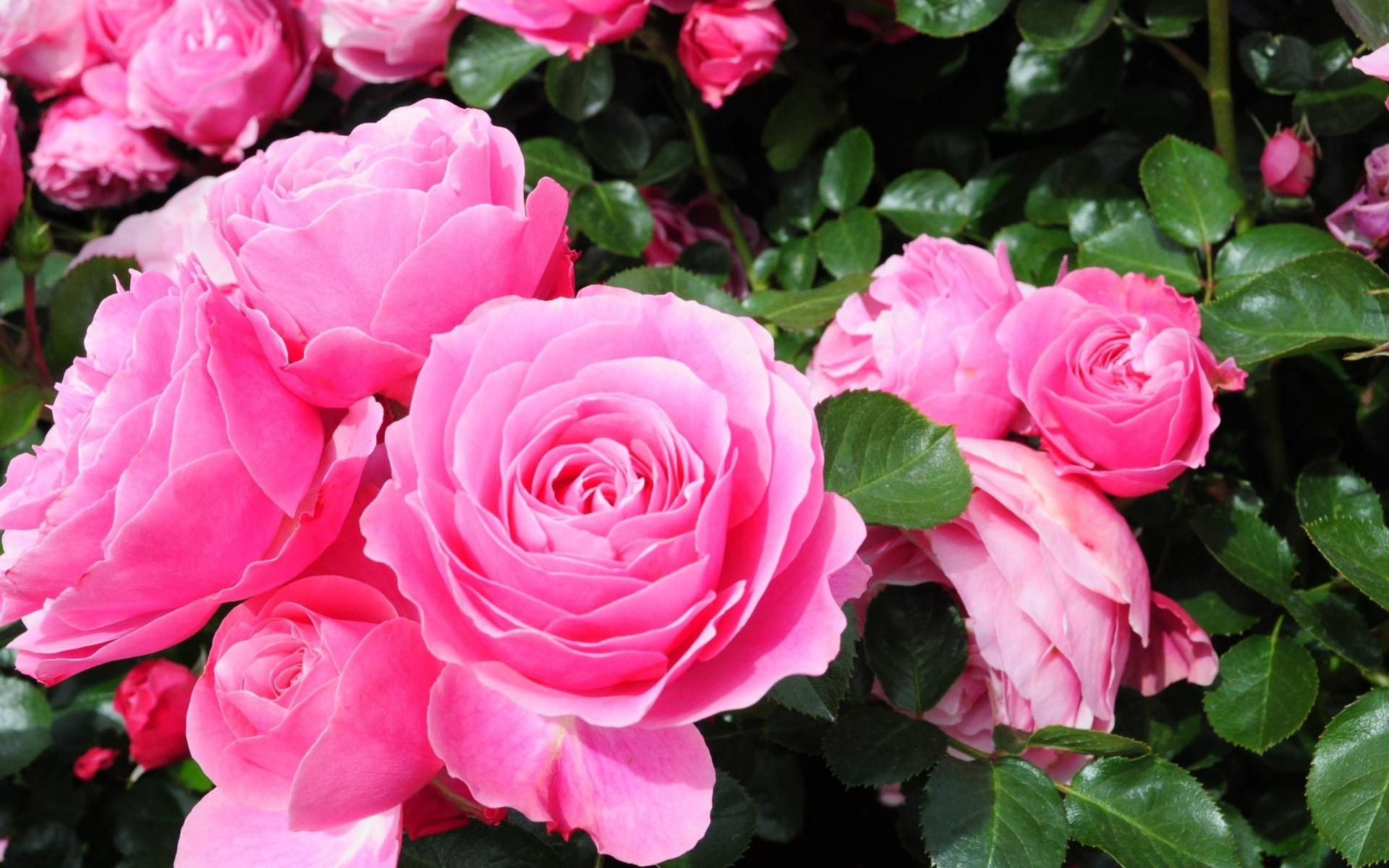 широкоформатные картинки для рабочего стола розы