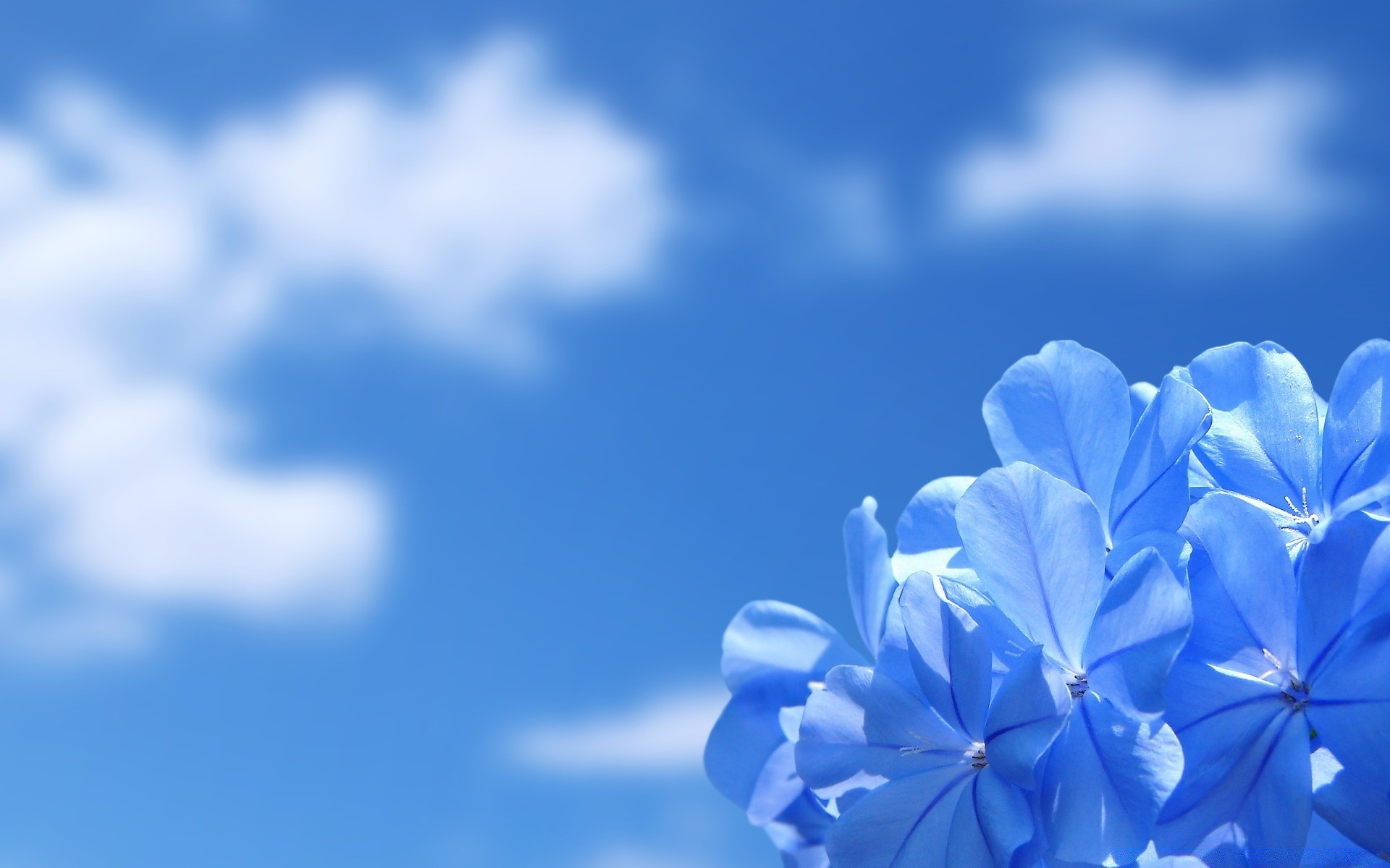 Blue Flowers Wallpapers  Full HD wallpaper search