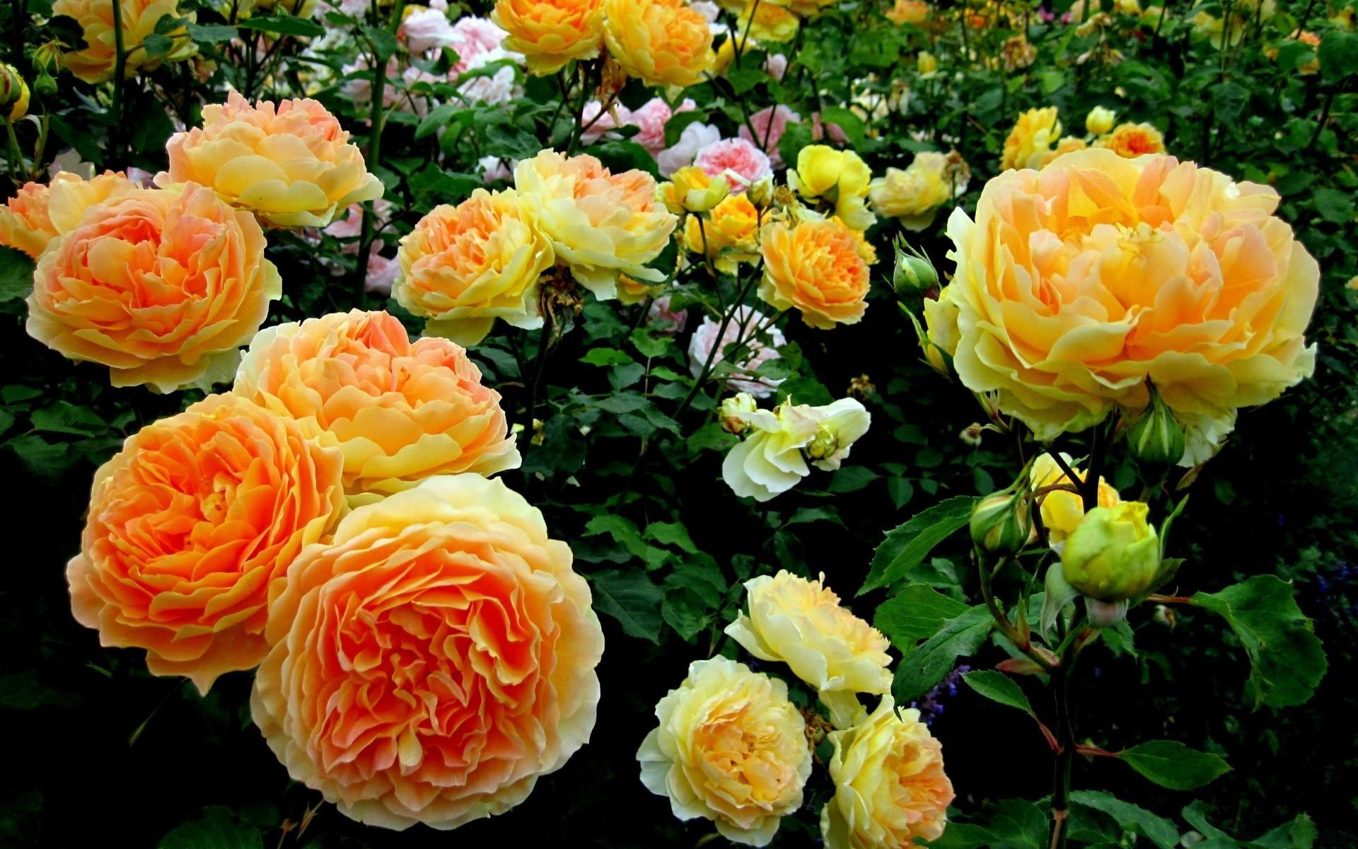 Обои на рабочий стол английские розы