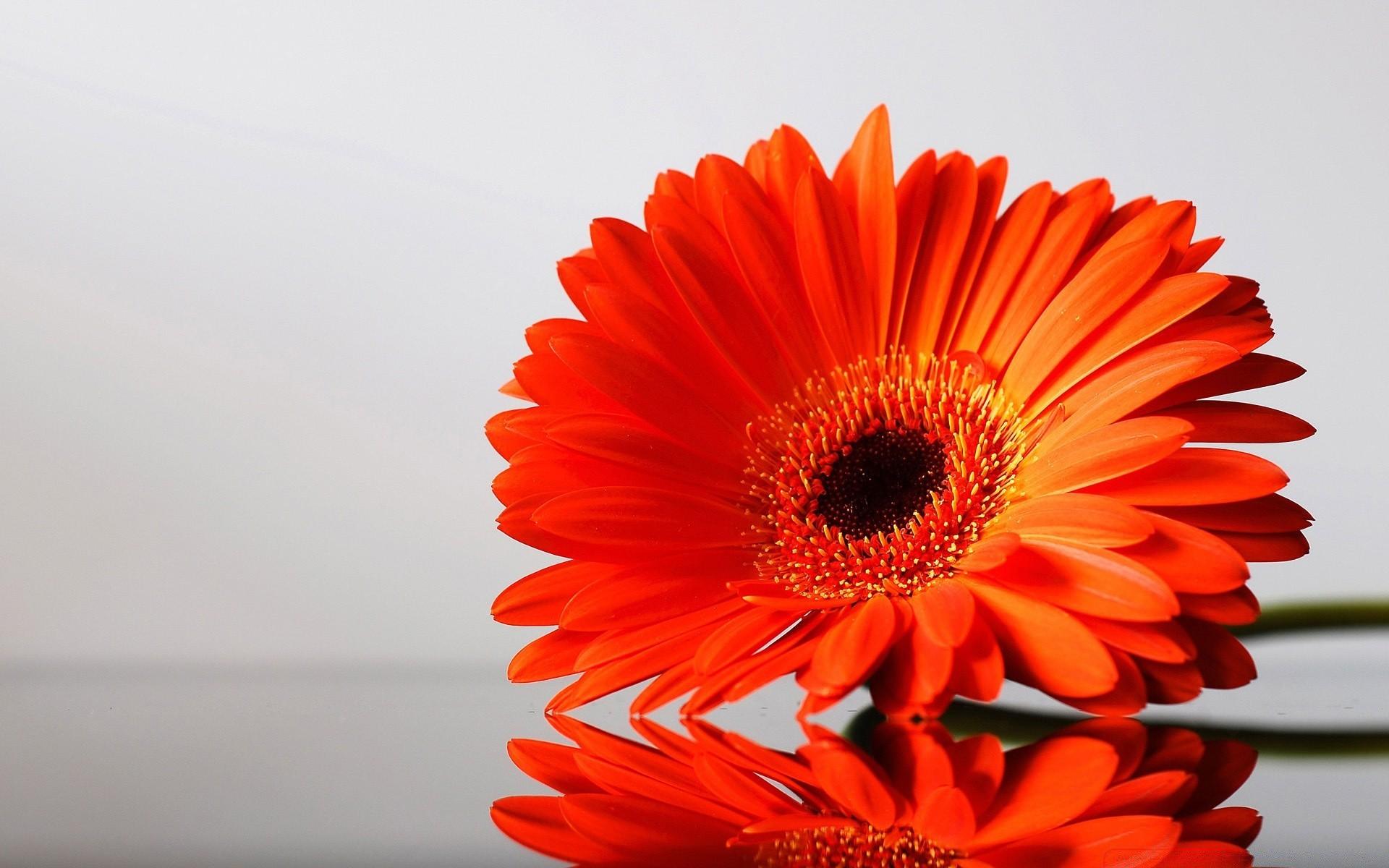 Цветы герберы оранжевые