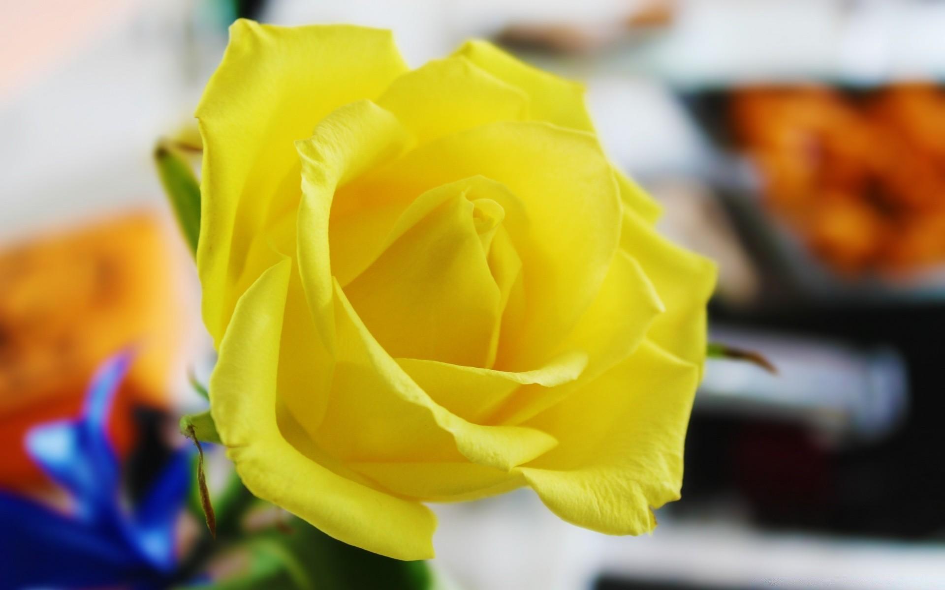 желтые розы фото на рабочий стол левом верхнем