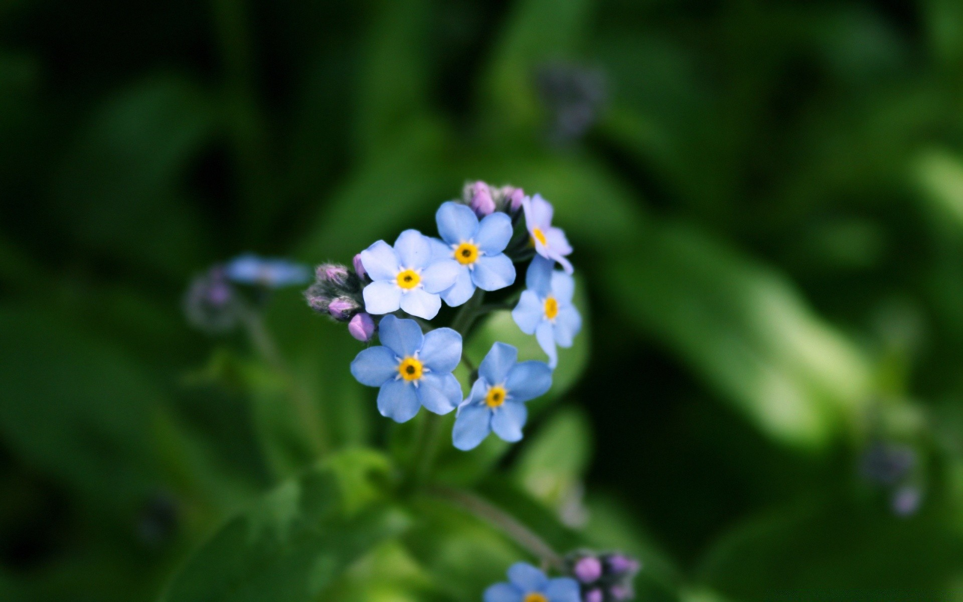 Forget-Me-Not цветок
