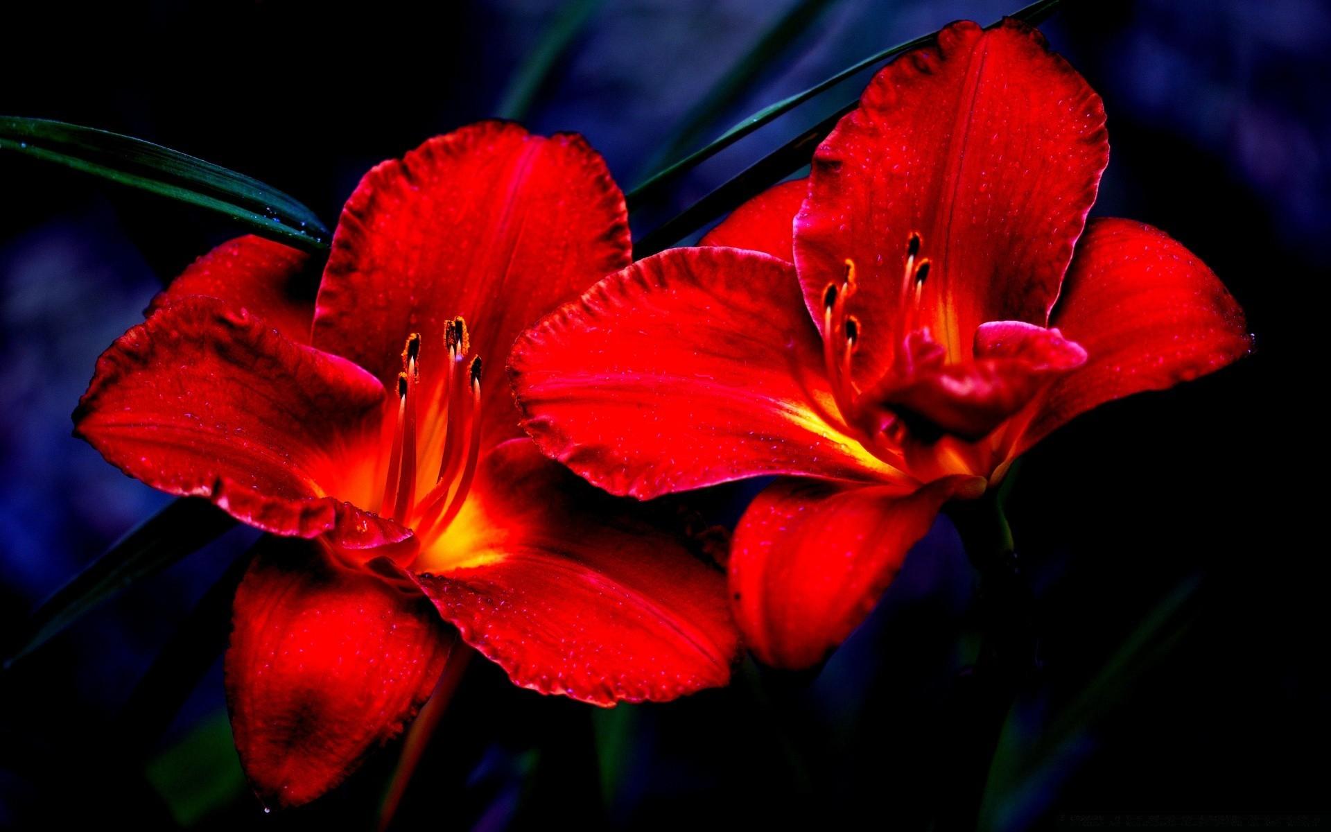 Фото красный цветок на черном фоне