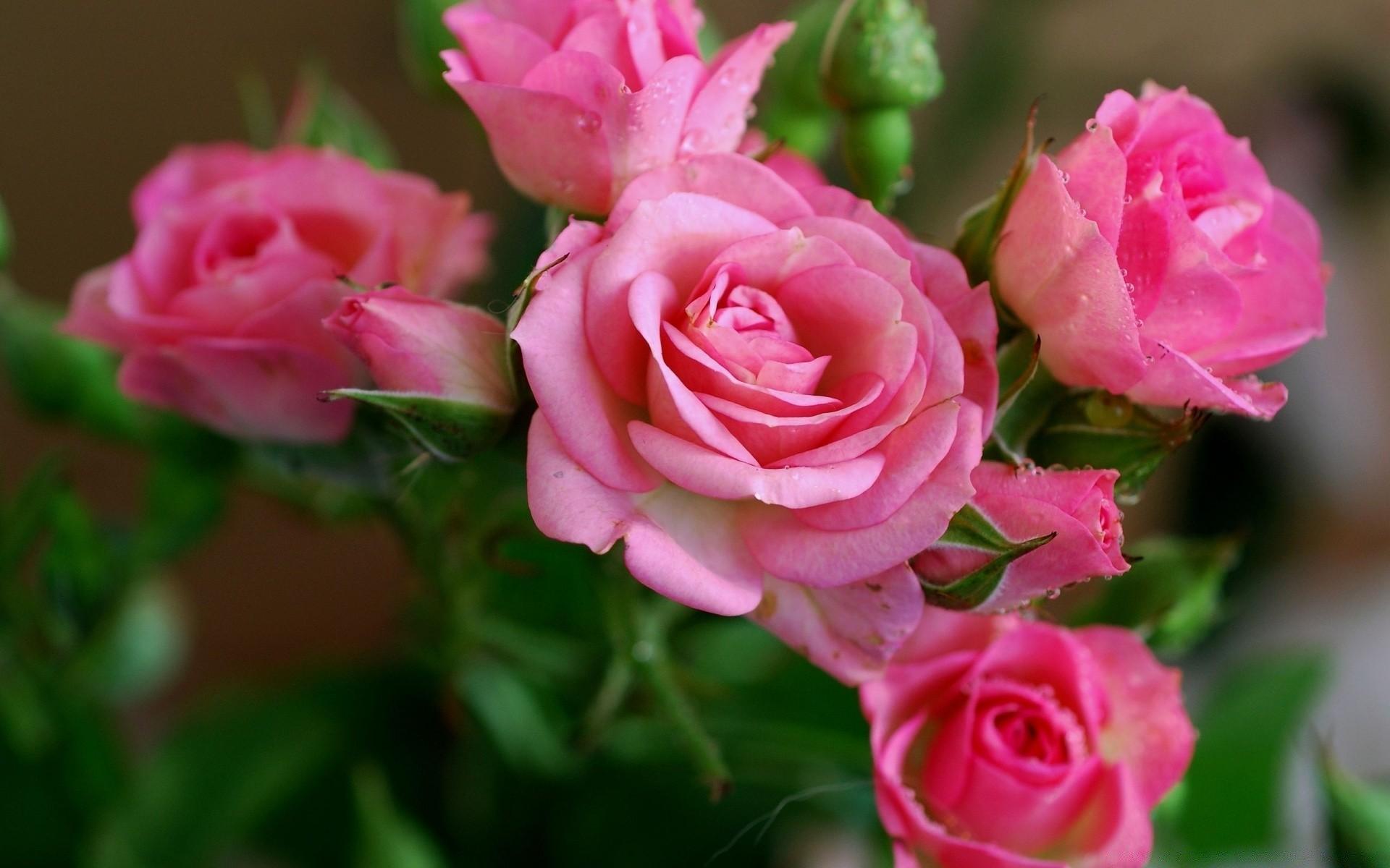 Картинки, красивые картинки розы на телефон на весь экран
