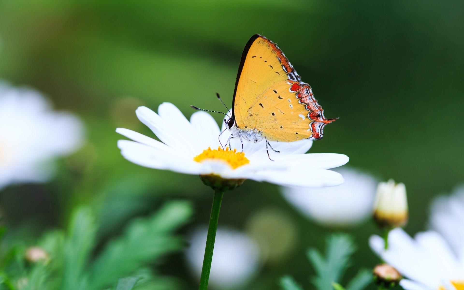 Картинки бабочки на ромашке, картинки жениха невесты