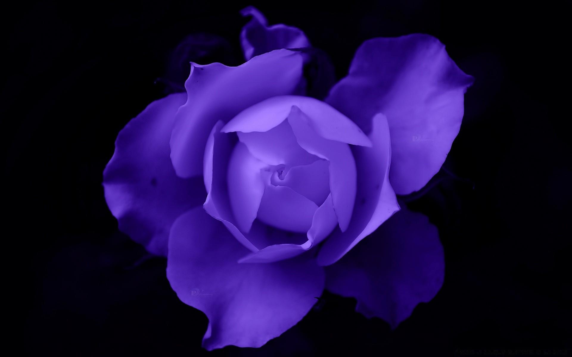 непросто картинки сиреневые цветы на черном фоне использовании двух фактур