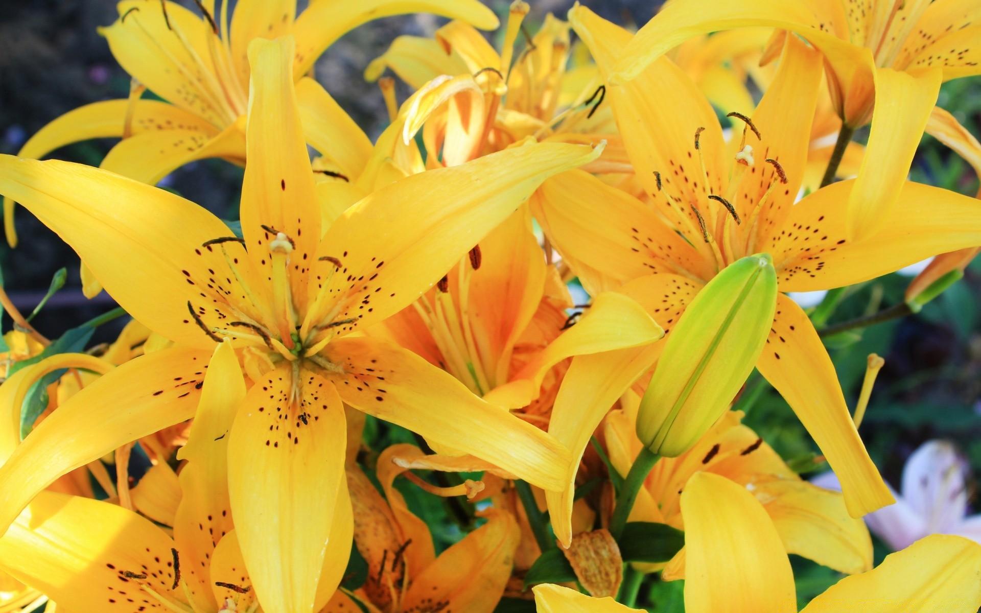 картинки на рабочий стол лилии желтые они разбираются, что