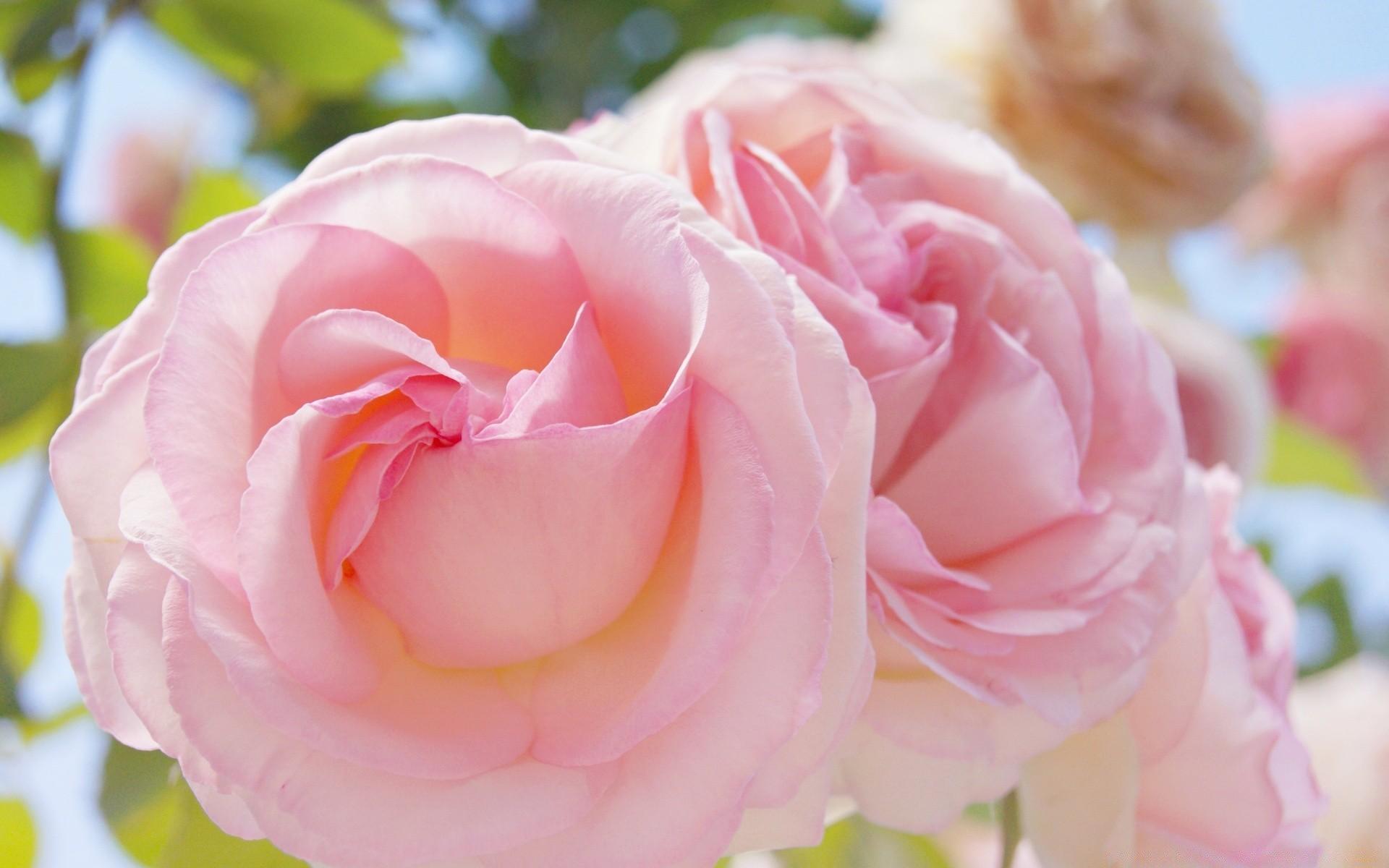 Розы нежные фото картинки