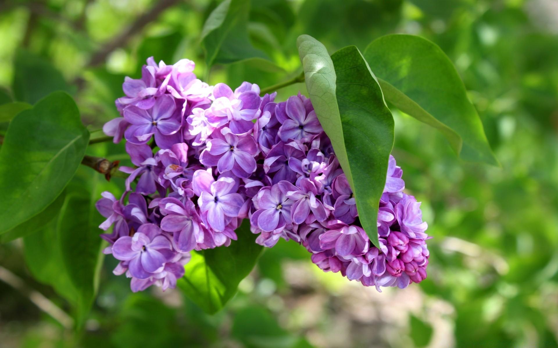 Цветы сирени высокого разрешения