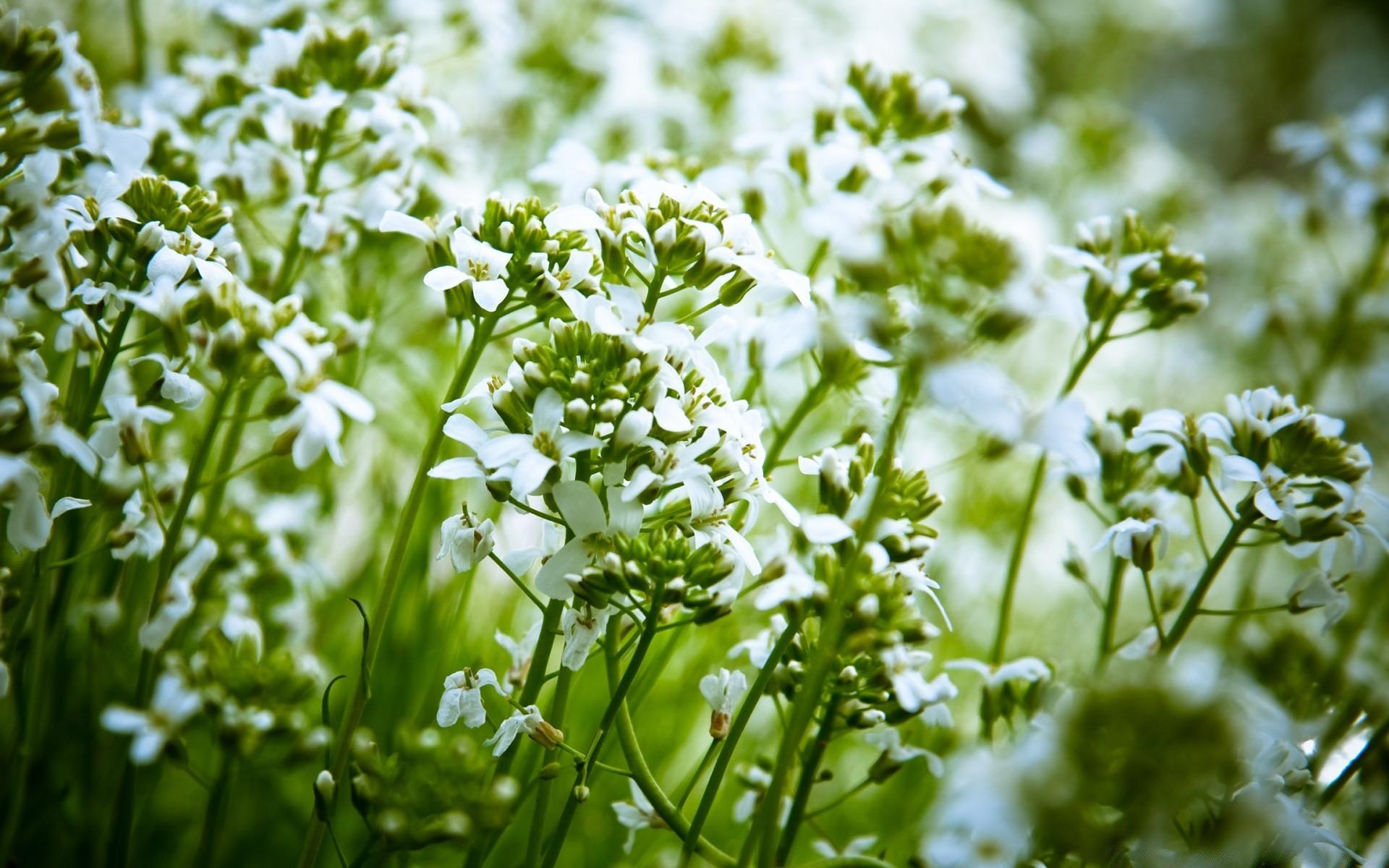 природа цветы белые бесплатно
