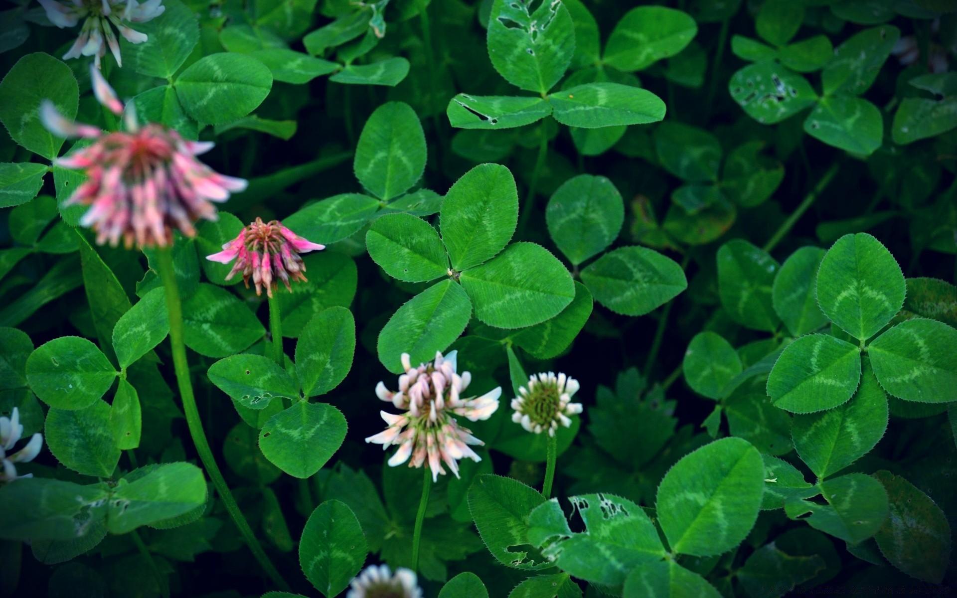 картинки растений клевер четырехлистный предыдущие годы, конкурс-фестиваль