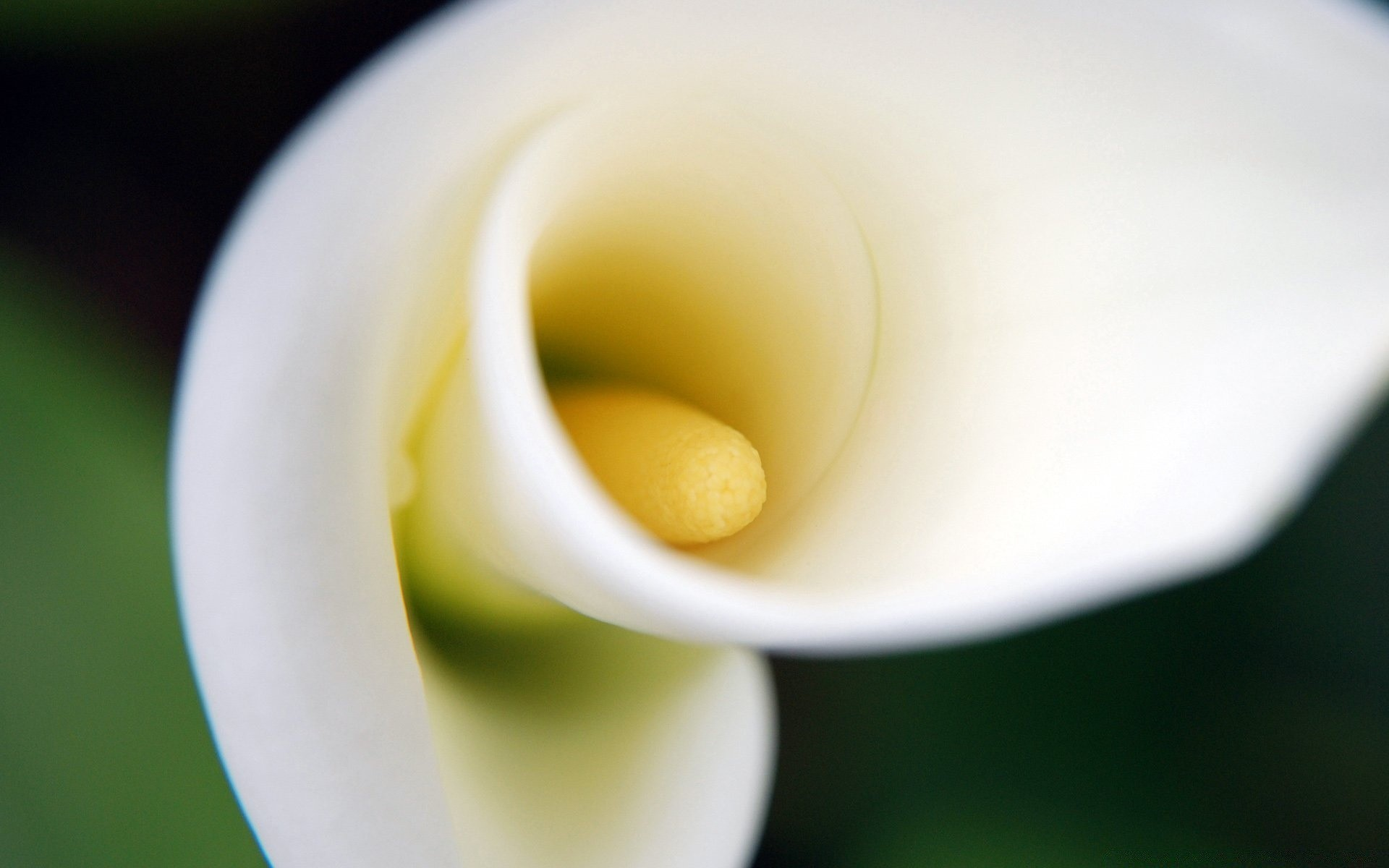 Обои цветок калла