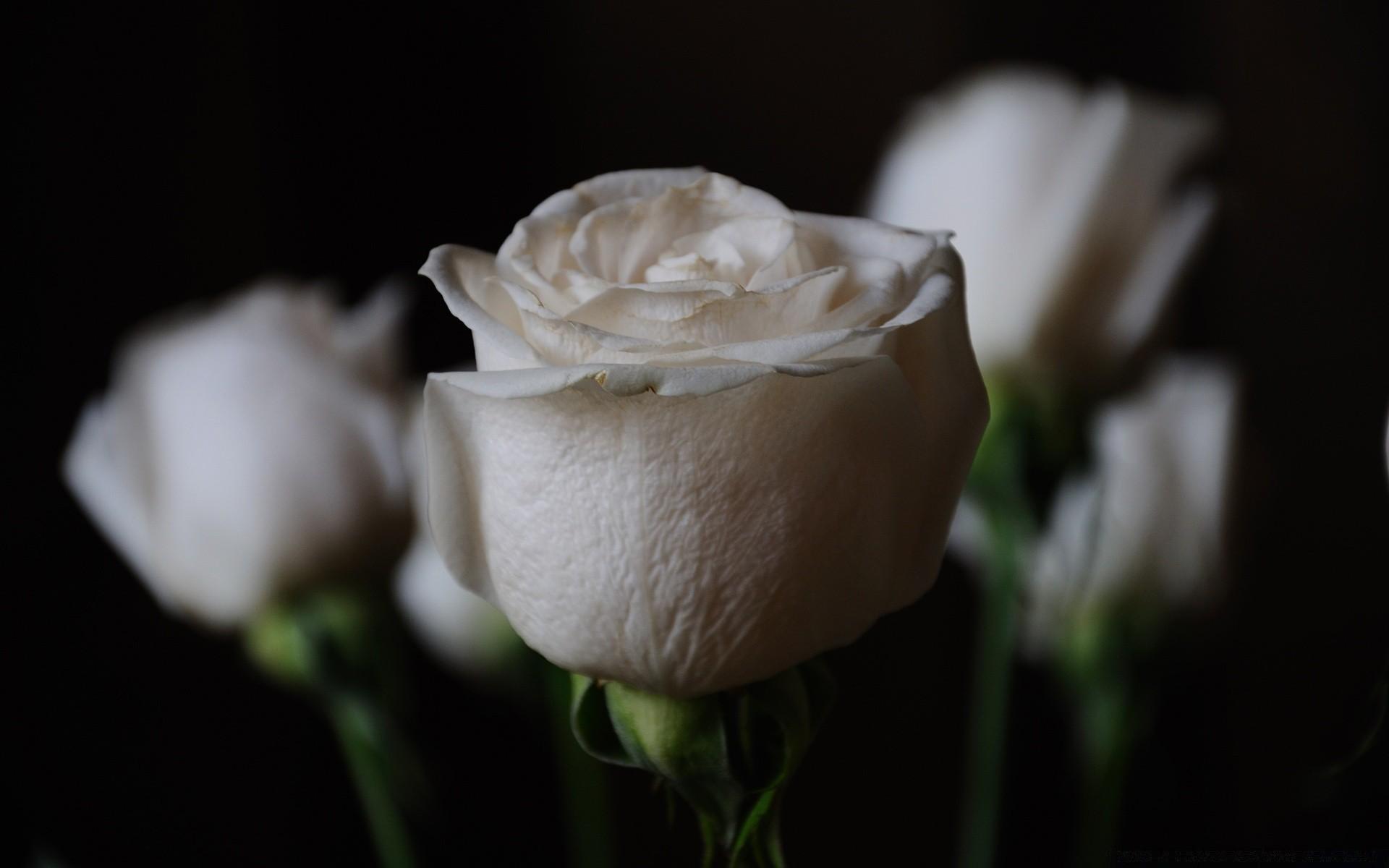 Открытка одна белая роза