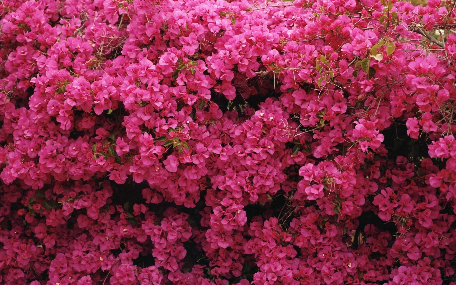 куст розовые цветы фото вячеслава константиновского