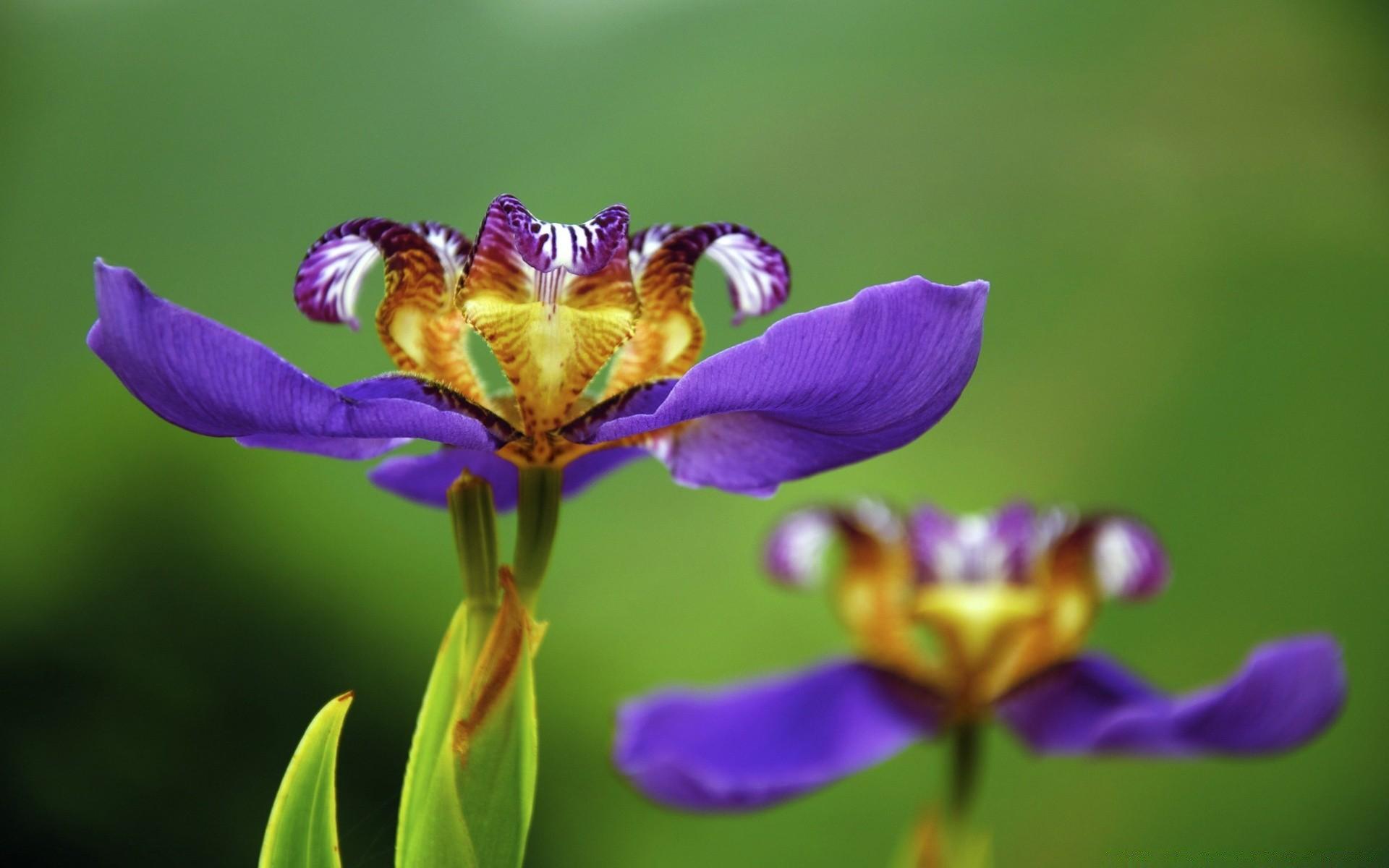 шмель,ирис,цветок,лето  № 529515 загрузить