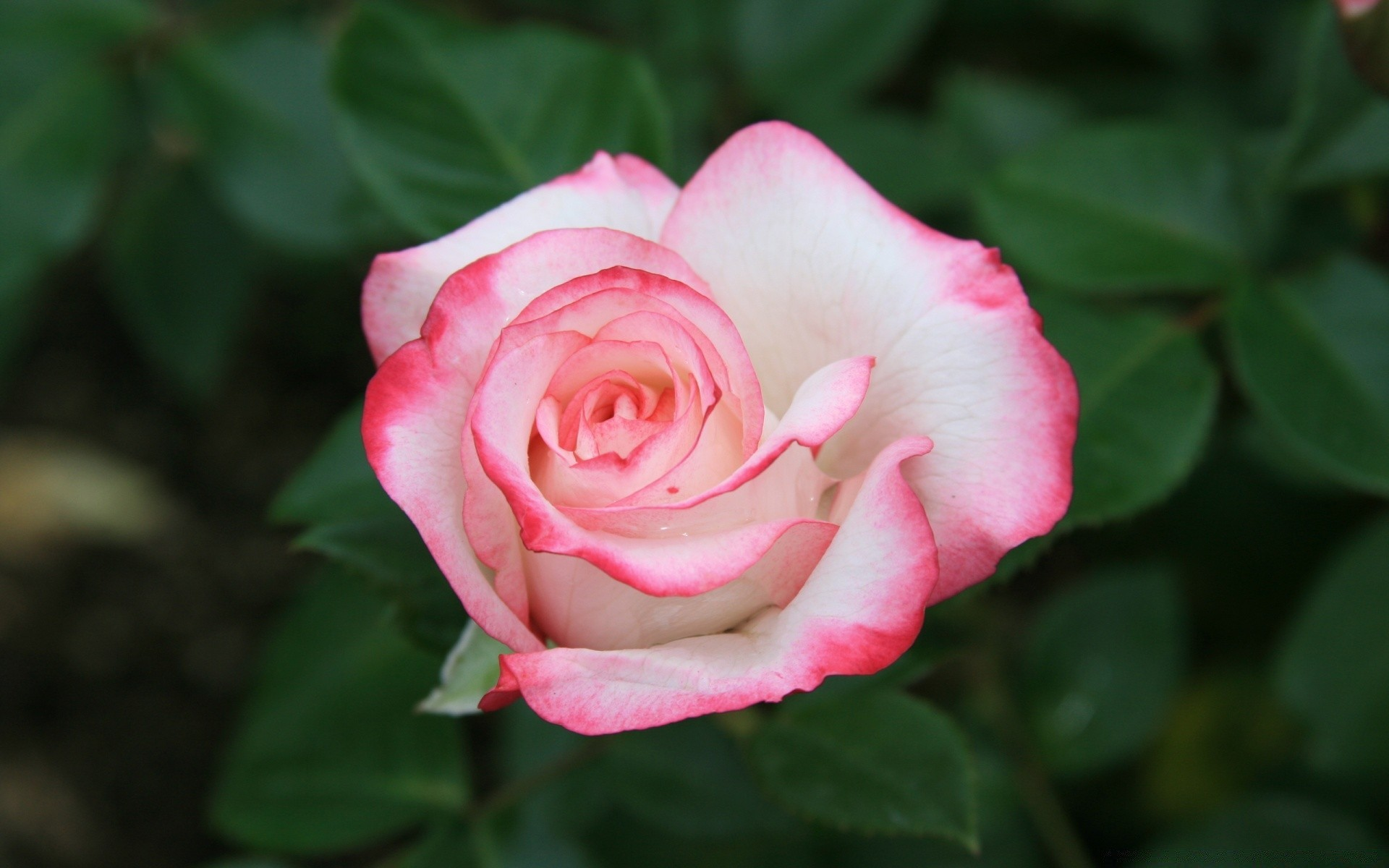 Поздравления днем, картинки с розами фото