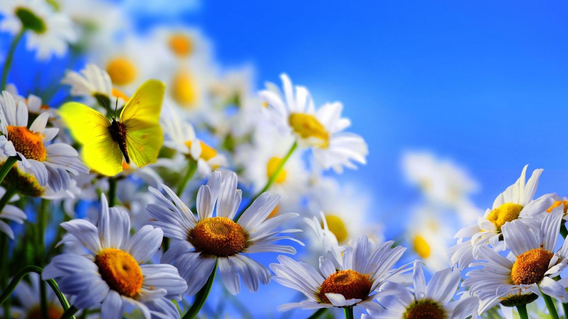 праздник день рождения цветы ромашки holiday day birth flowers chamomile на телефон