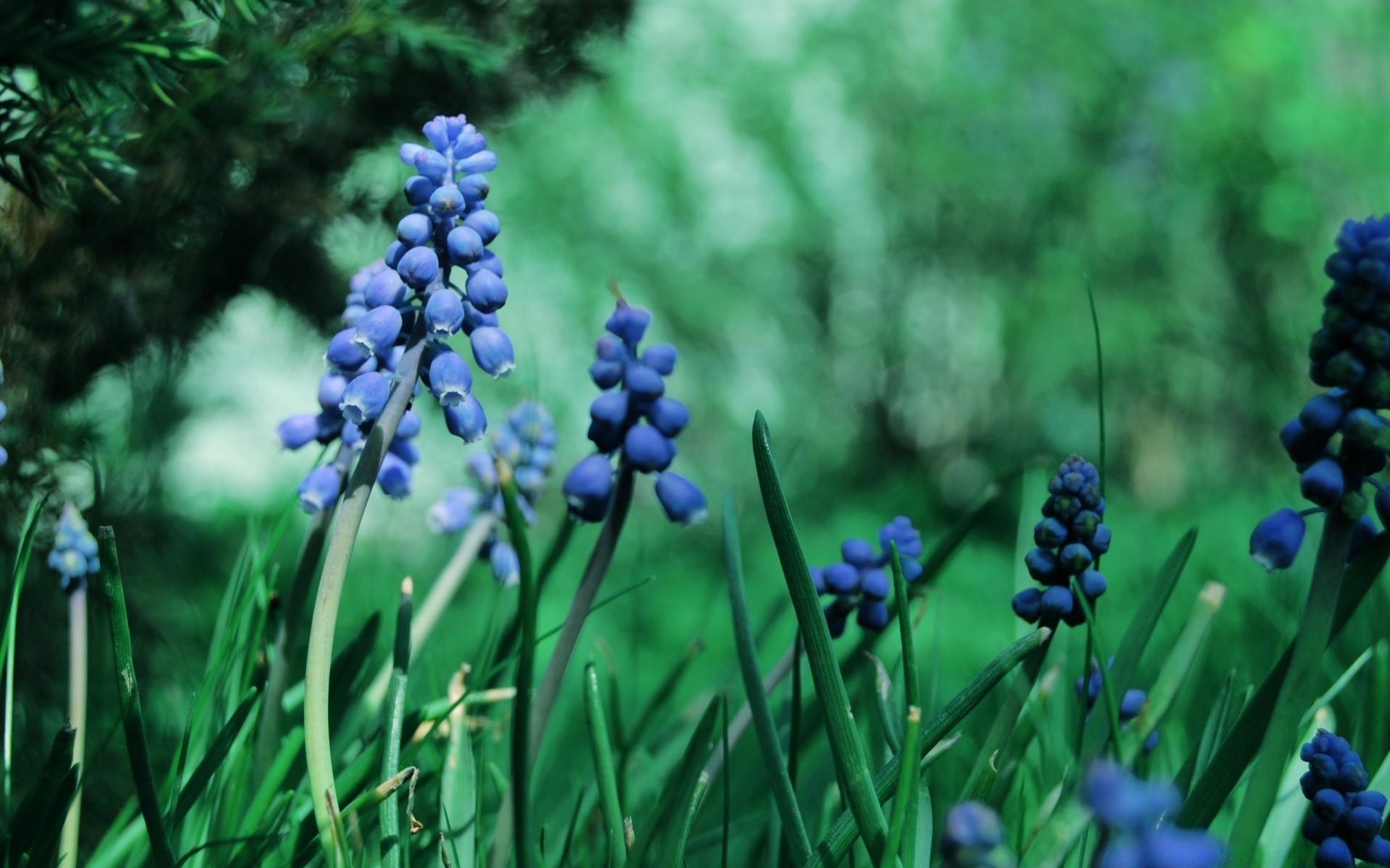 Обои цветы, Виноградный гиацинт, синие. Цветы foto 10
