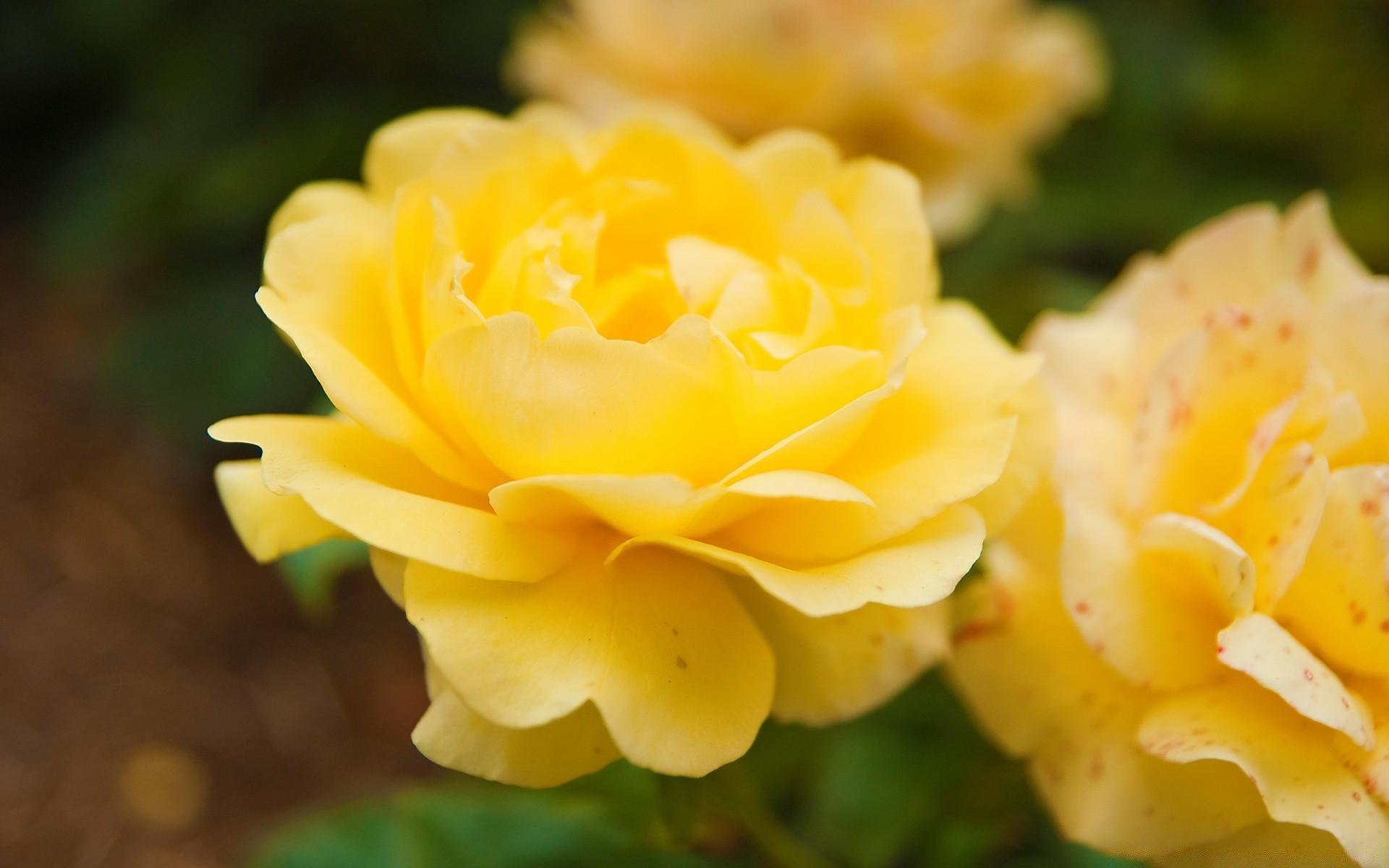 Желтые розы фото на рабочий стол на весь экран