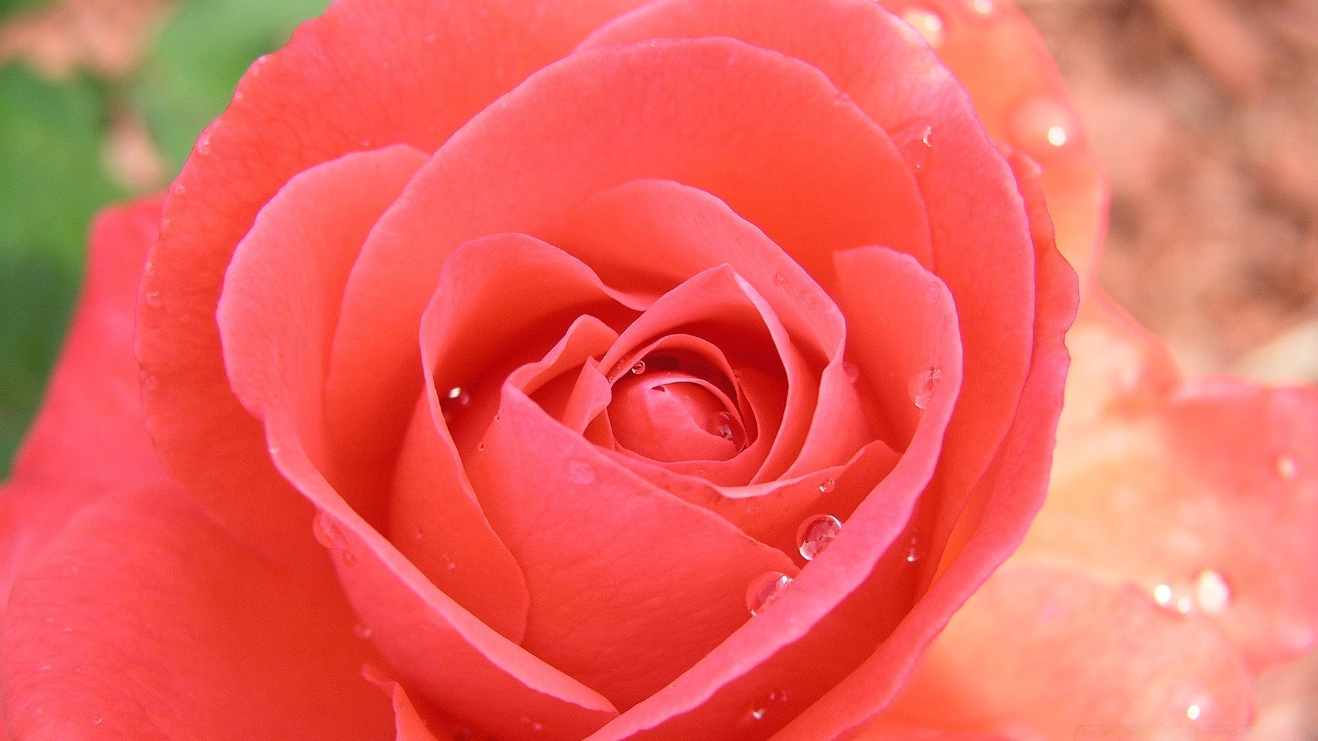 Обои на рабочий стол широкоформатные розы