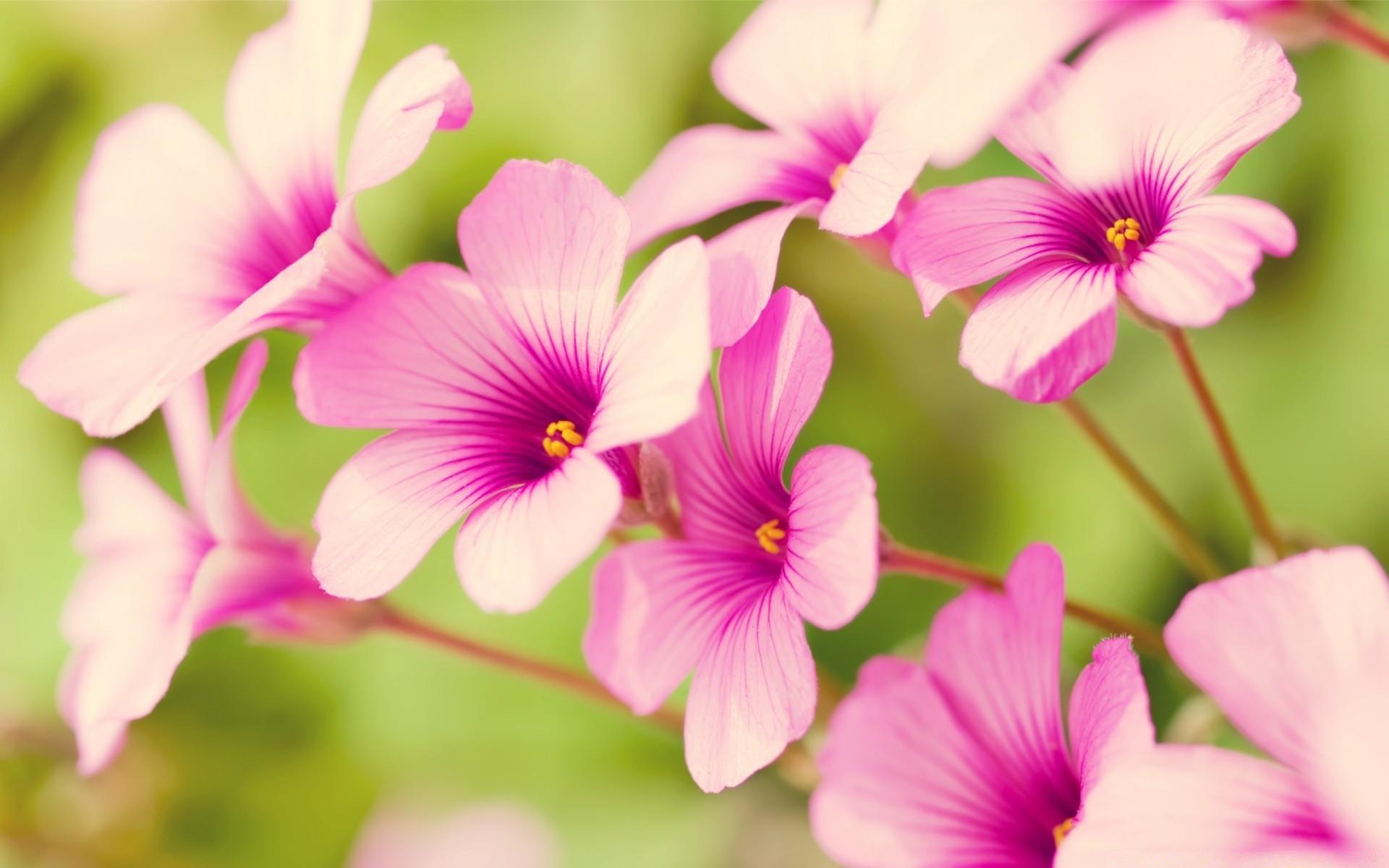 картинки рабочий стол цветочки розовым что