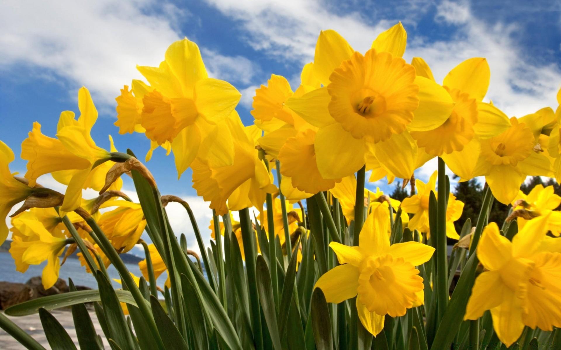 Цветы желтые весна бесплатно