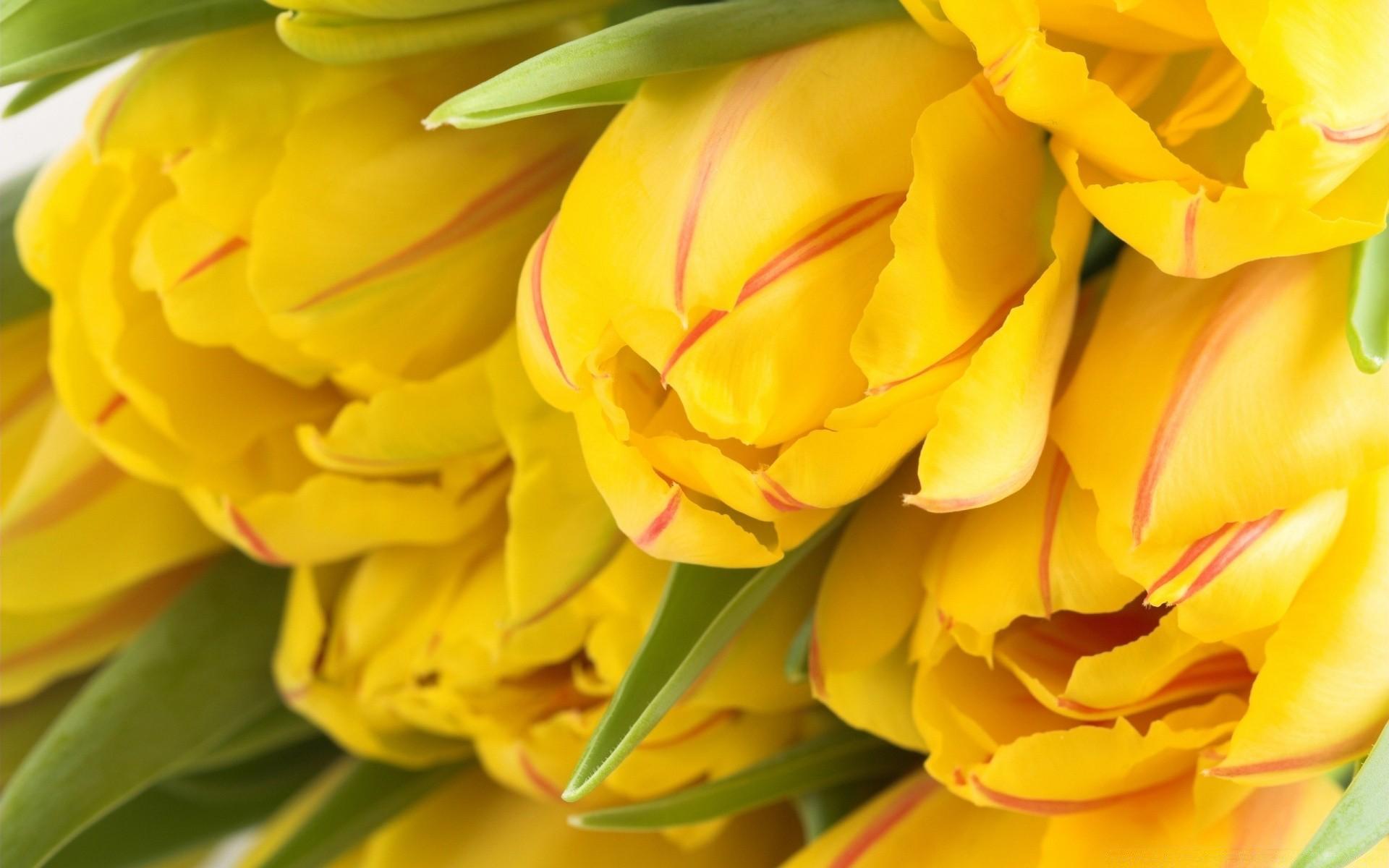 Обои на айфон тюльпаны