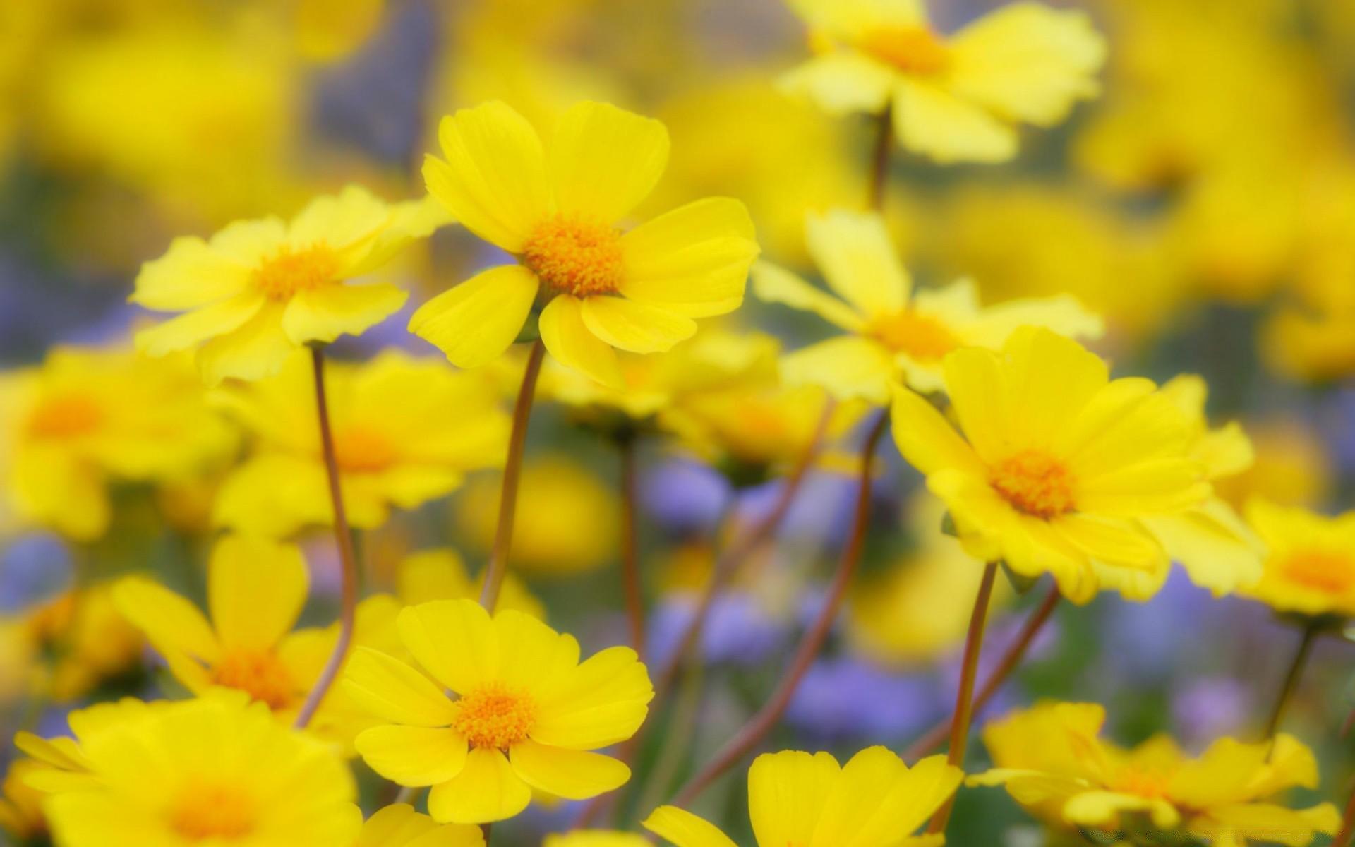 цветы желтые бесплатно
