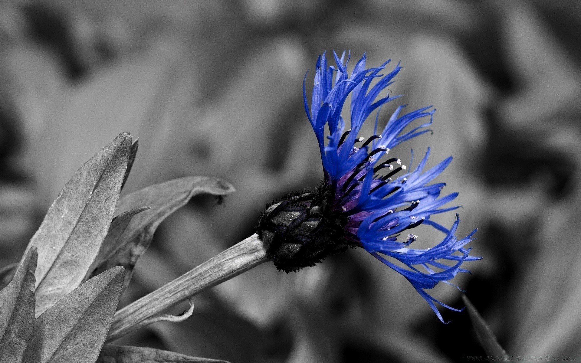 Цветы васильки картинки черным, цветами ирисов