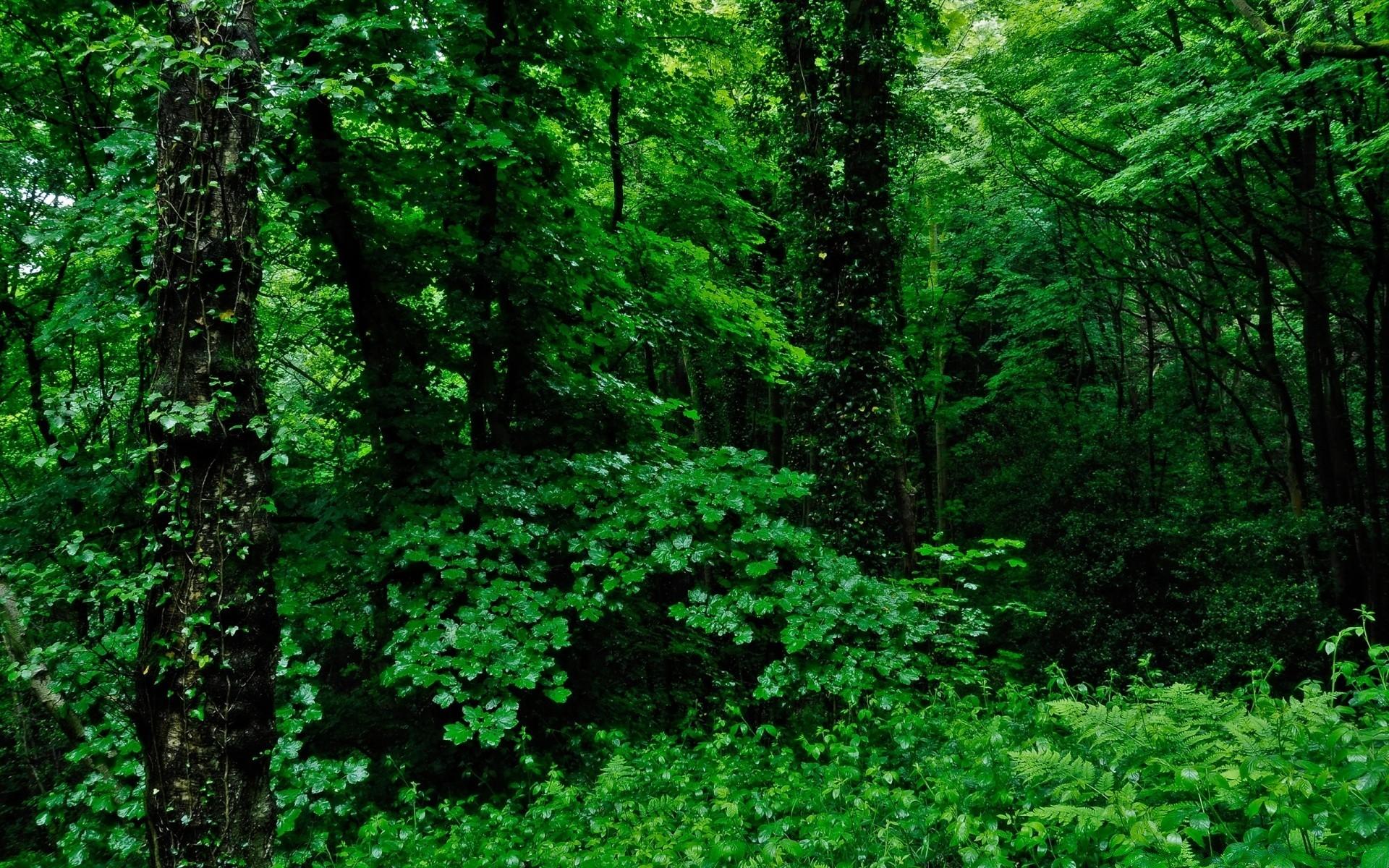 Обои для рабочего стола зеленый лес