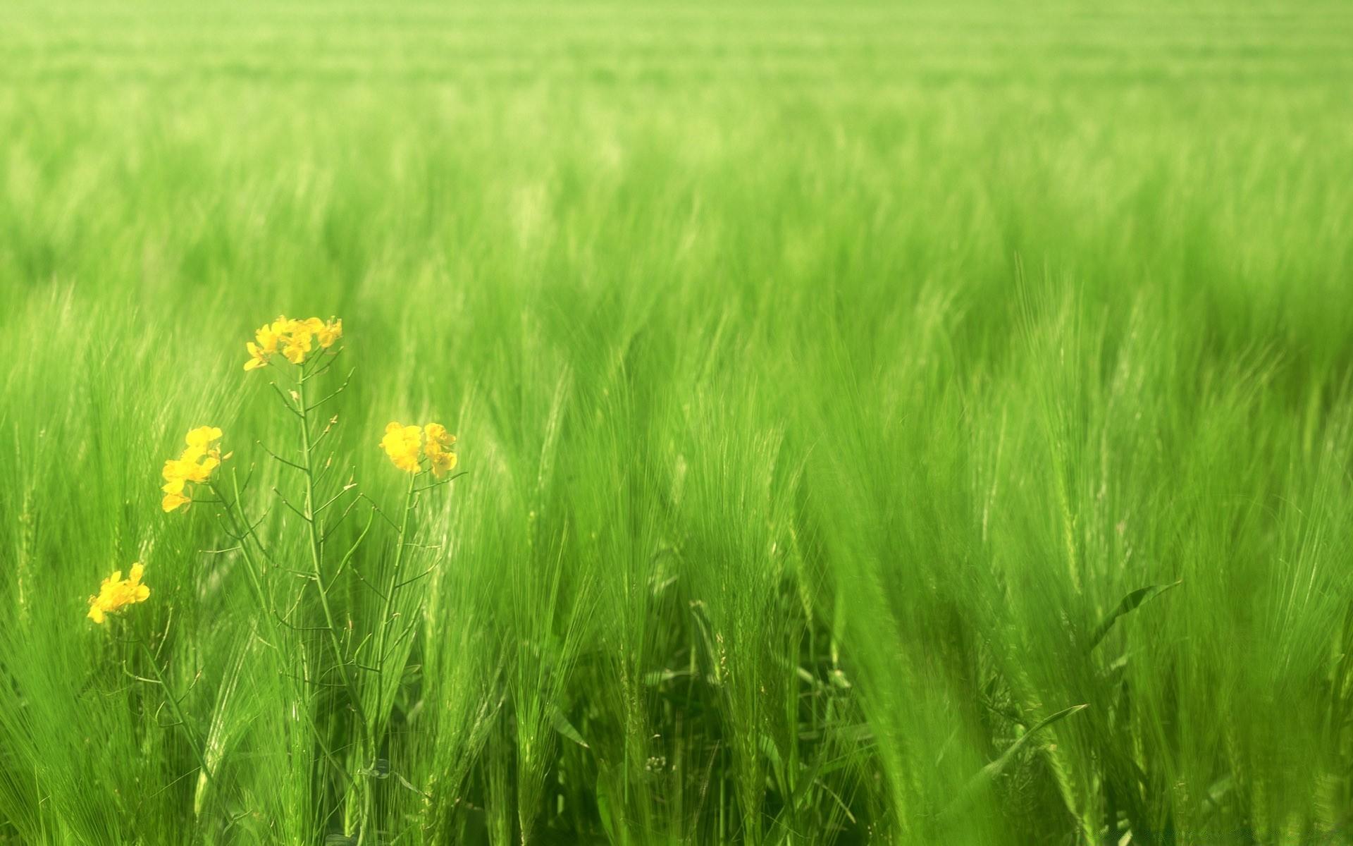 зеленые колосья цветы поляна  № 3213850 загрузить