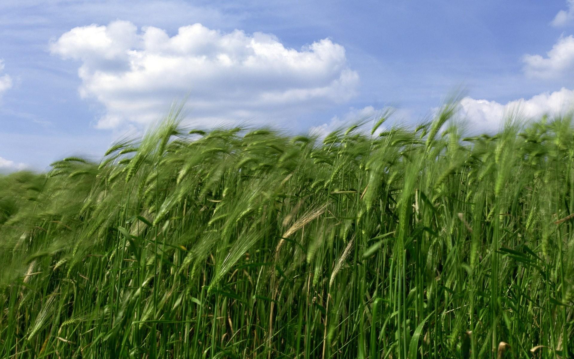 Зеленая пшеница  № 2559148 загрузить