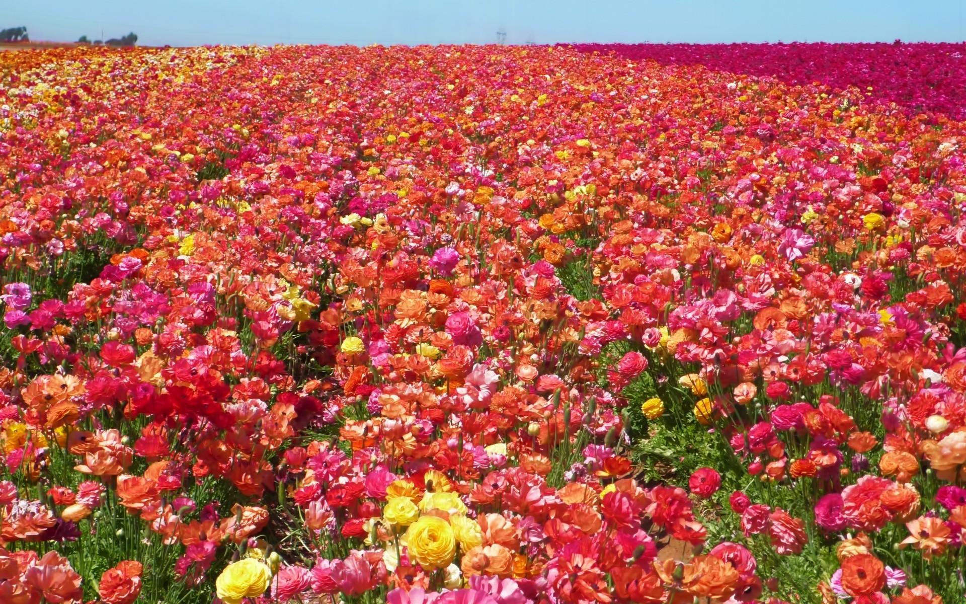 Розы поле картинки