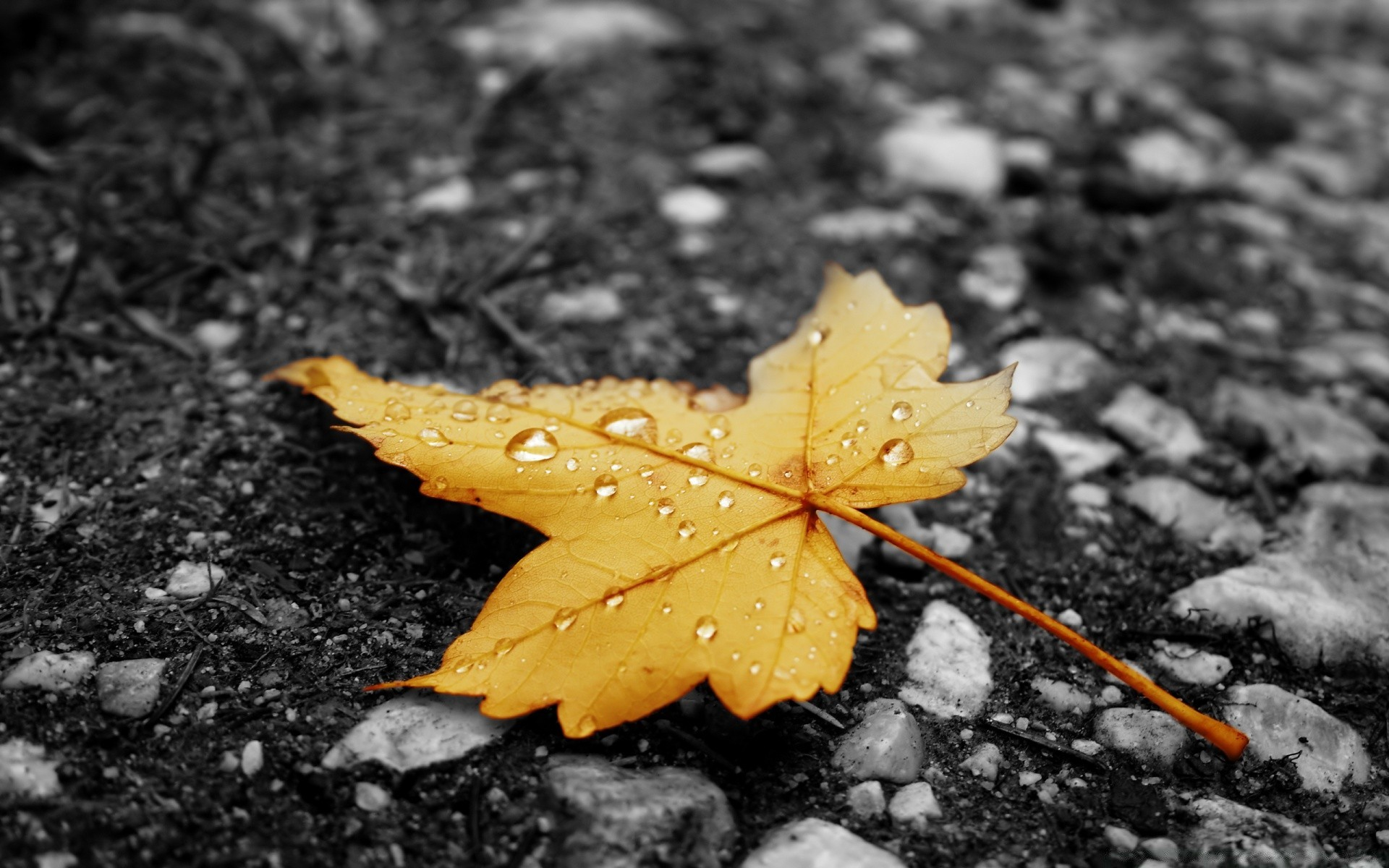 обои на рабочий стол осень листья дождь опасен фитофтороз