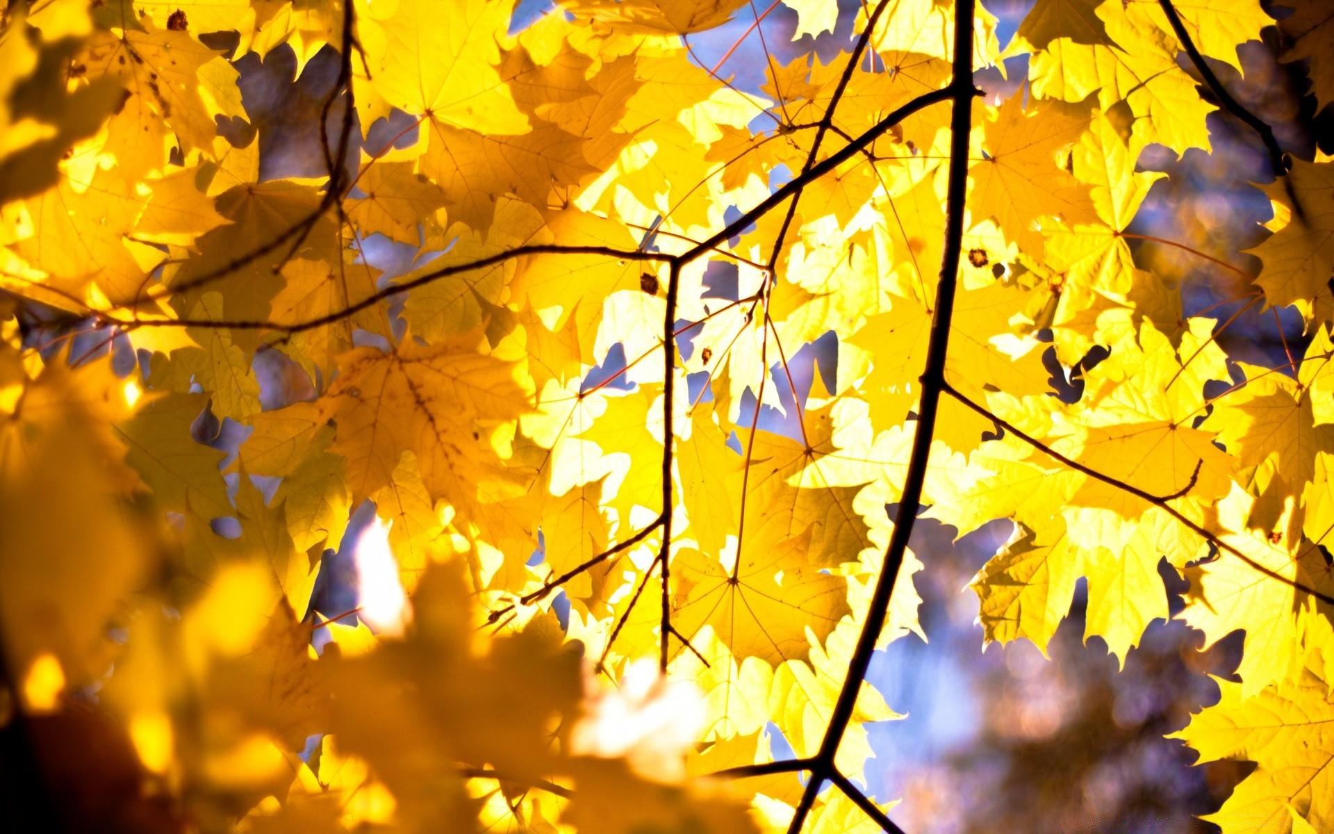 обои желтые листья это, внизу картера