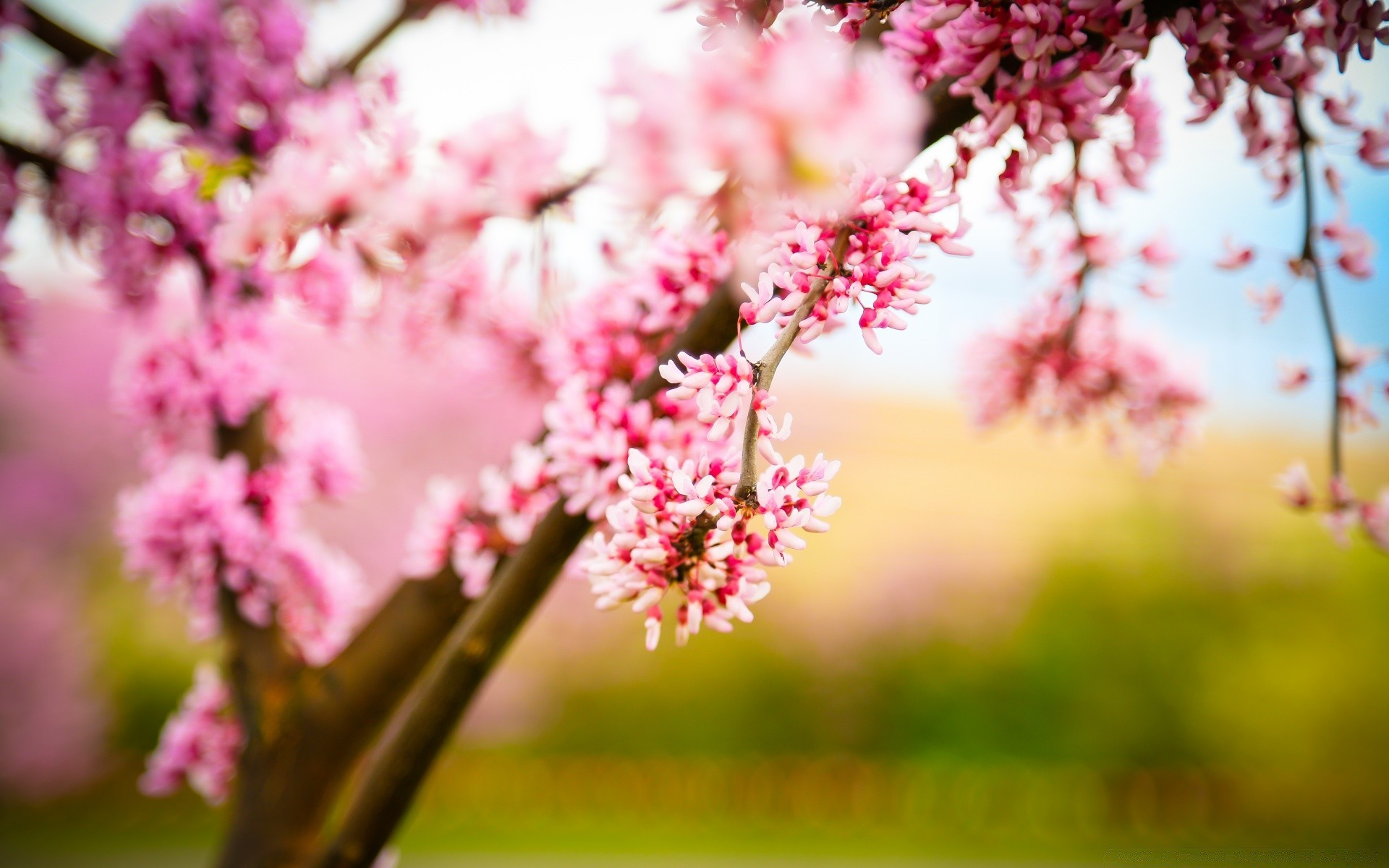 cherry blossom wallpaper - HD 1920×1200