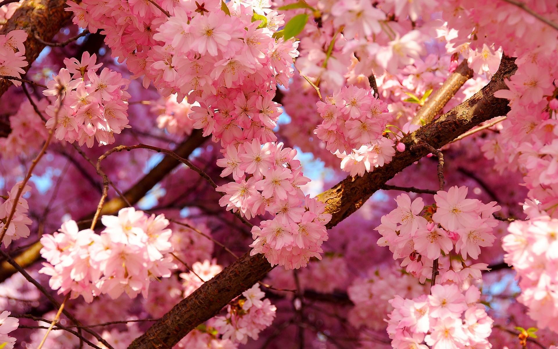 Цветы сакура живой купить, белых роз смотреть