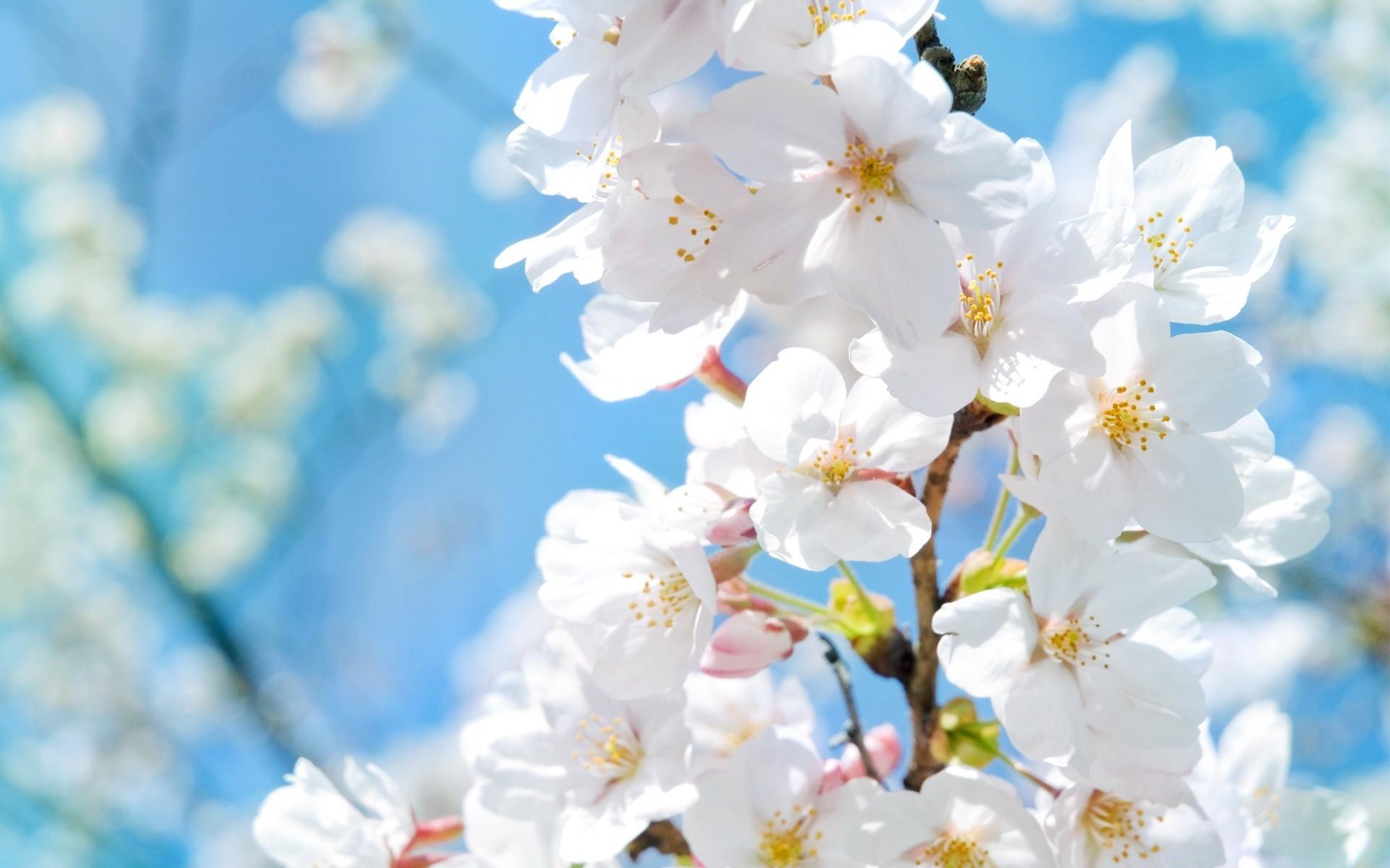 Картинки цветущая яблоня на рабочий стол, удачи