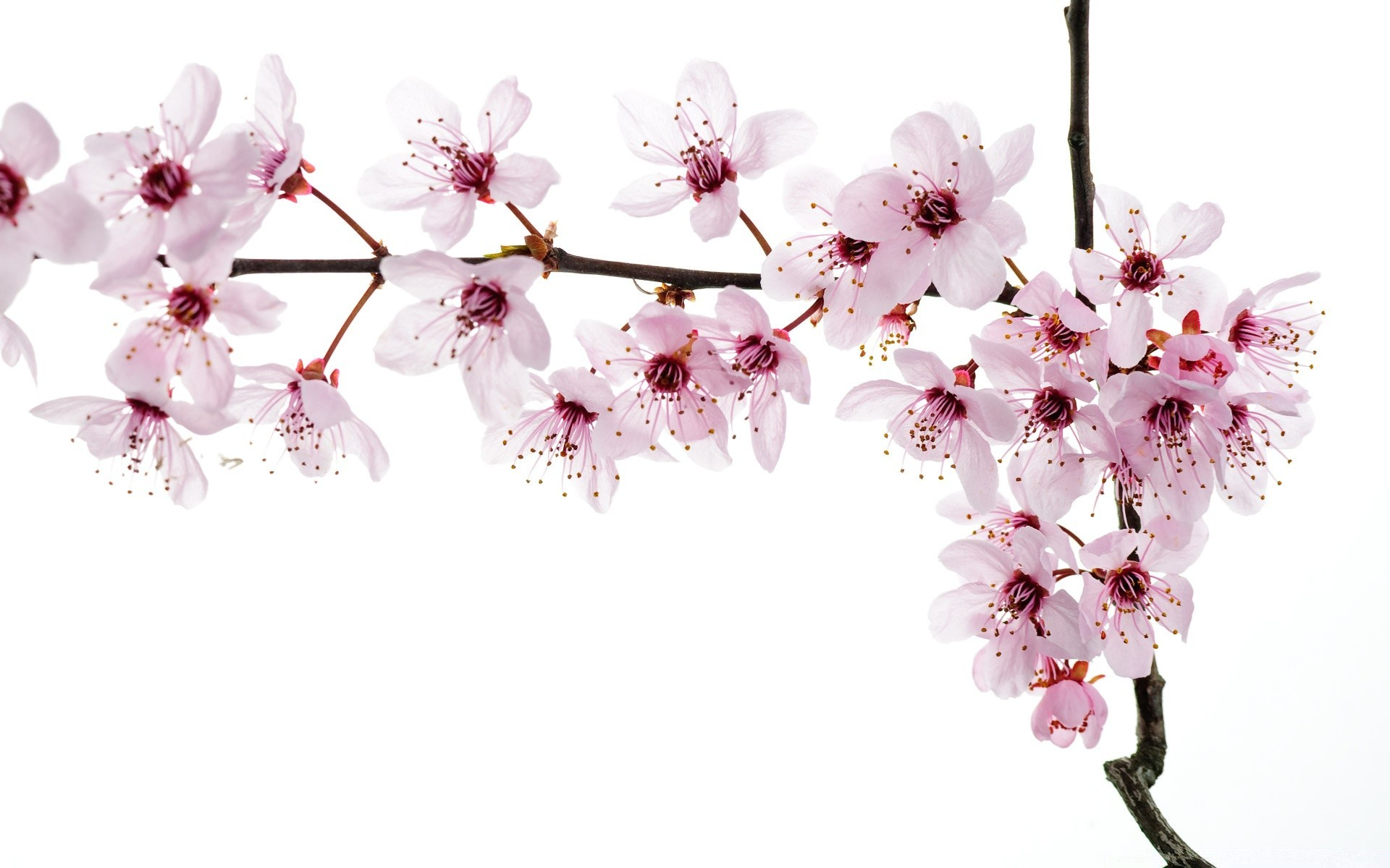 окна показать фотообои три д цветущей вишни ветки отличие