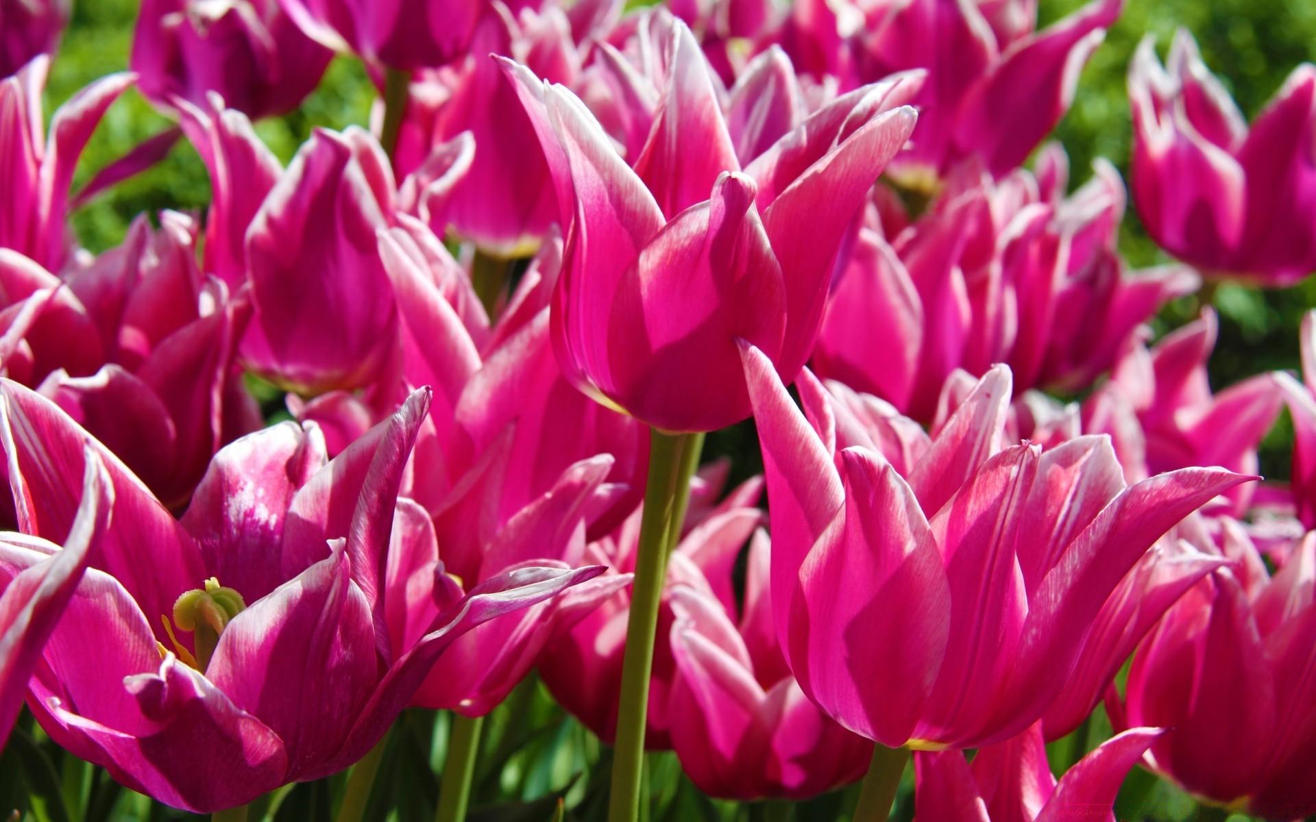 Фиолетовые тюльпаны в саду  № 1325883  скачать