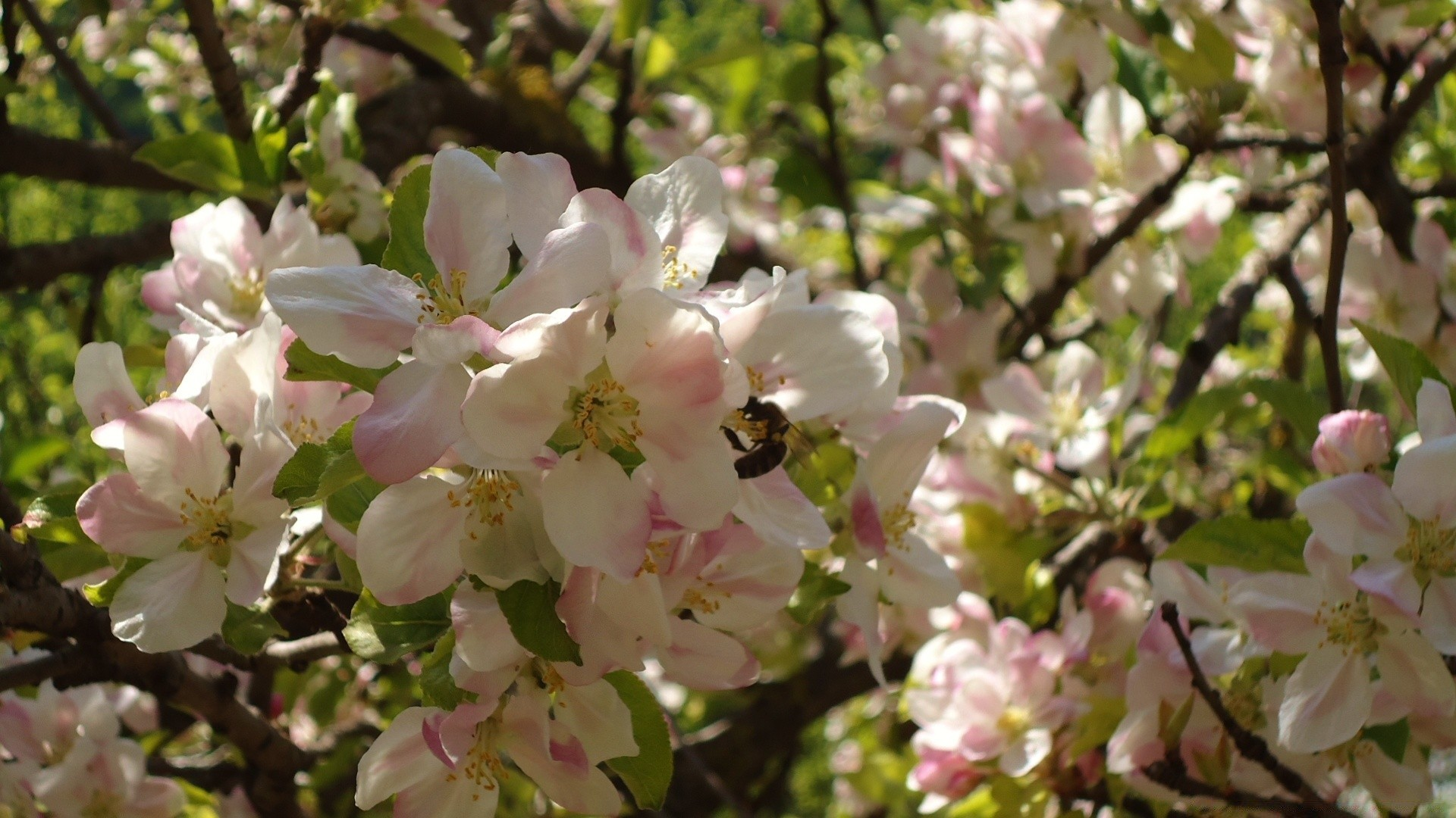 фото цветущей яблони на рабочий стол очищенный миндаль маленькую