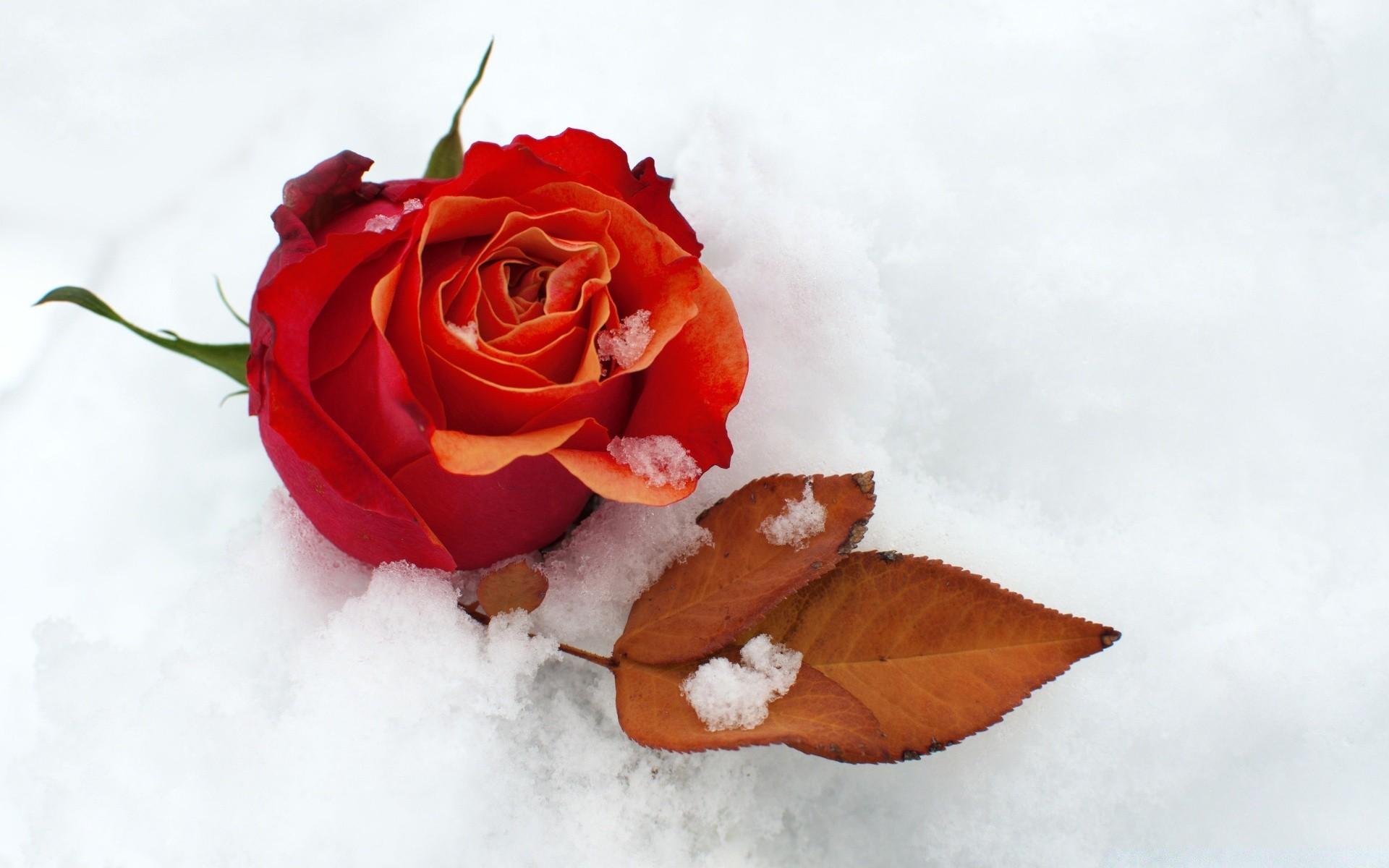 Картинки красные цветы на снегу, признании