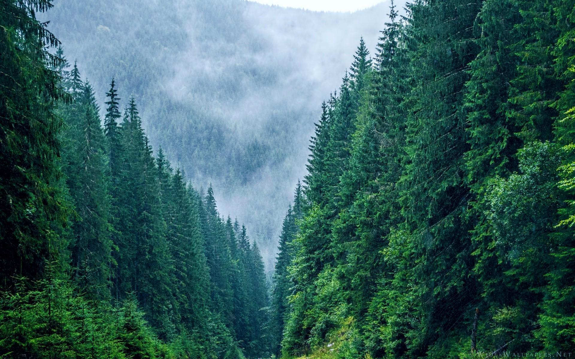 Картинки хвойный лес на рабочий стол