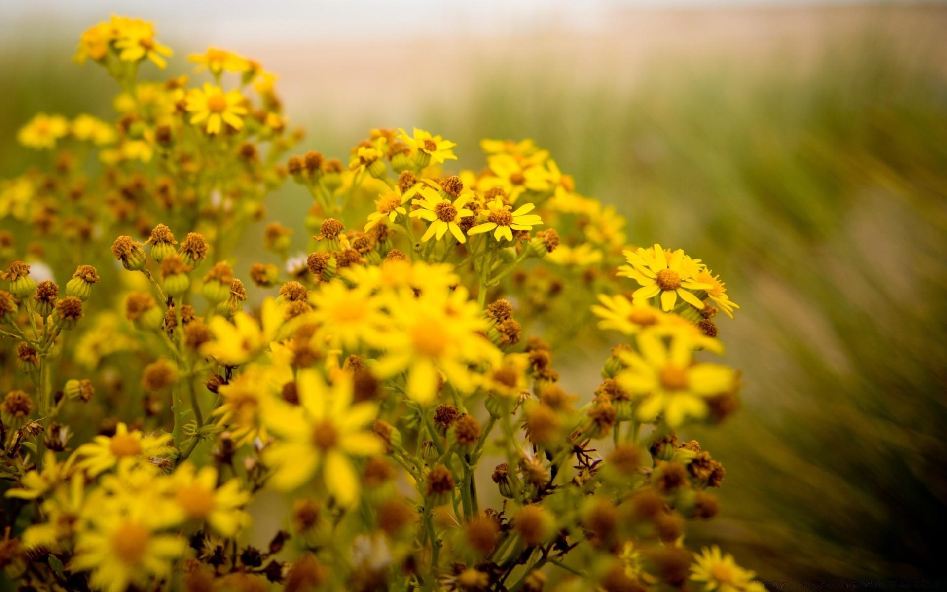 название желтых полевых цветов с картинками было немного